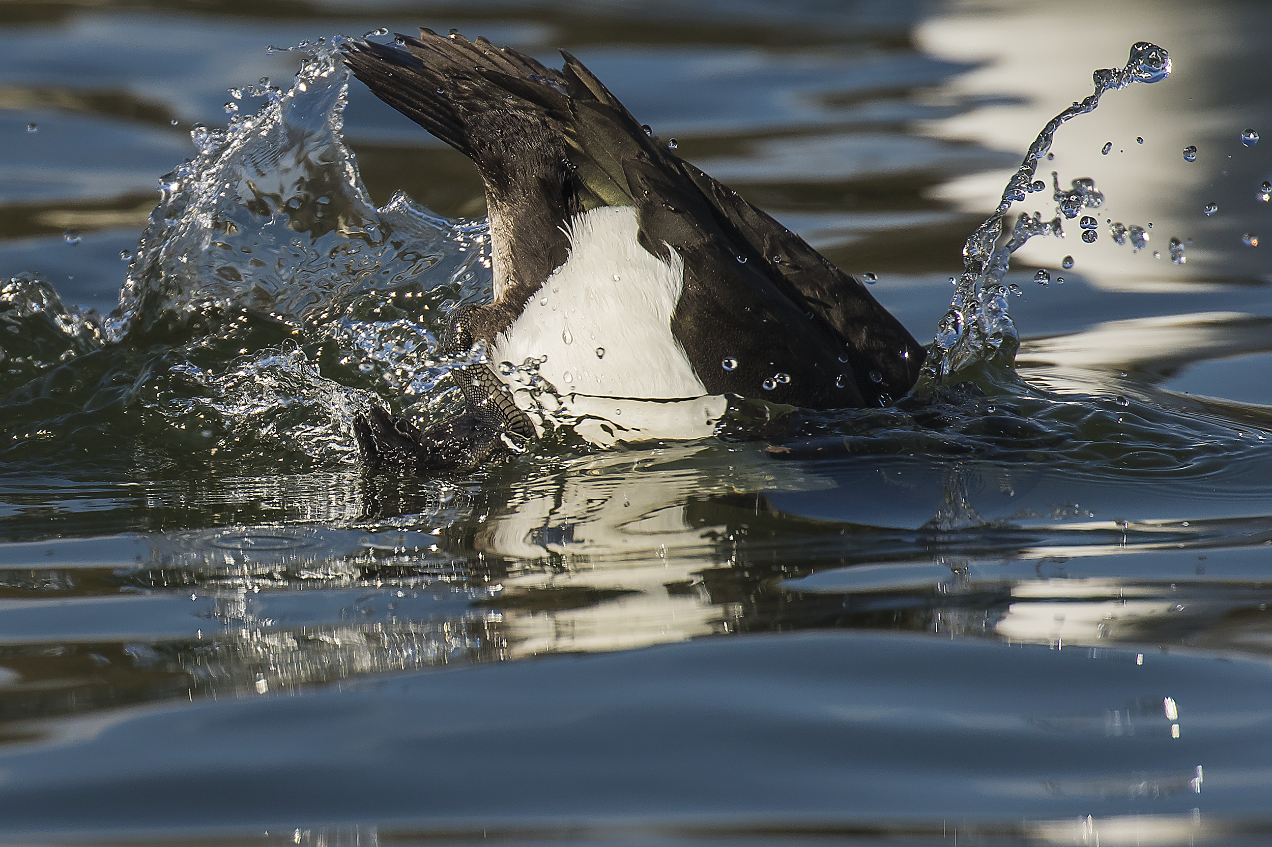 Tufted Duck Dive 2nd April.png