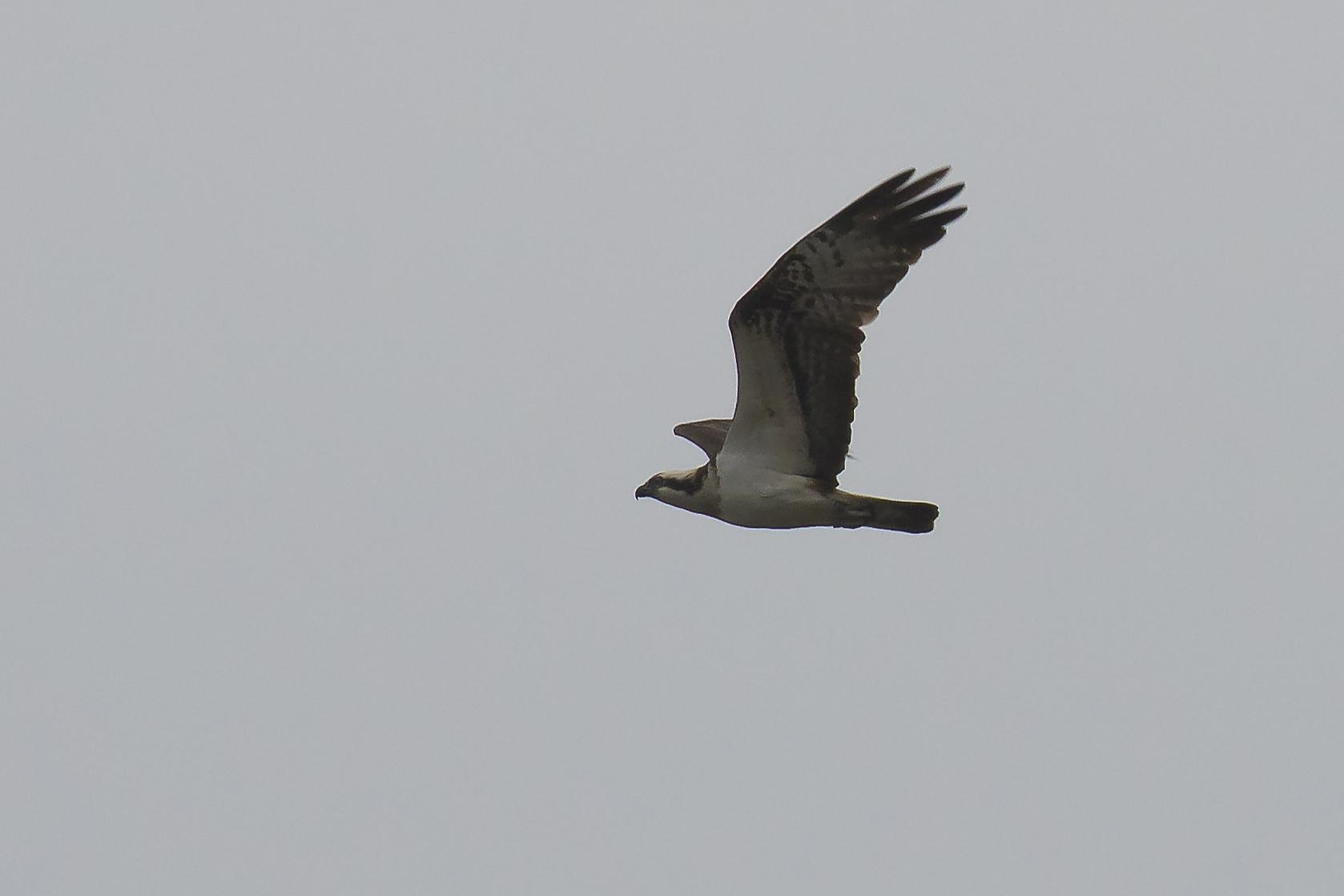 Osprey 2 Llandegfedd 3rd April.jpg