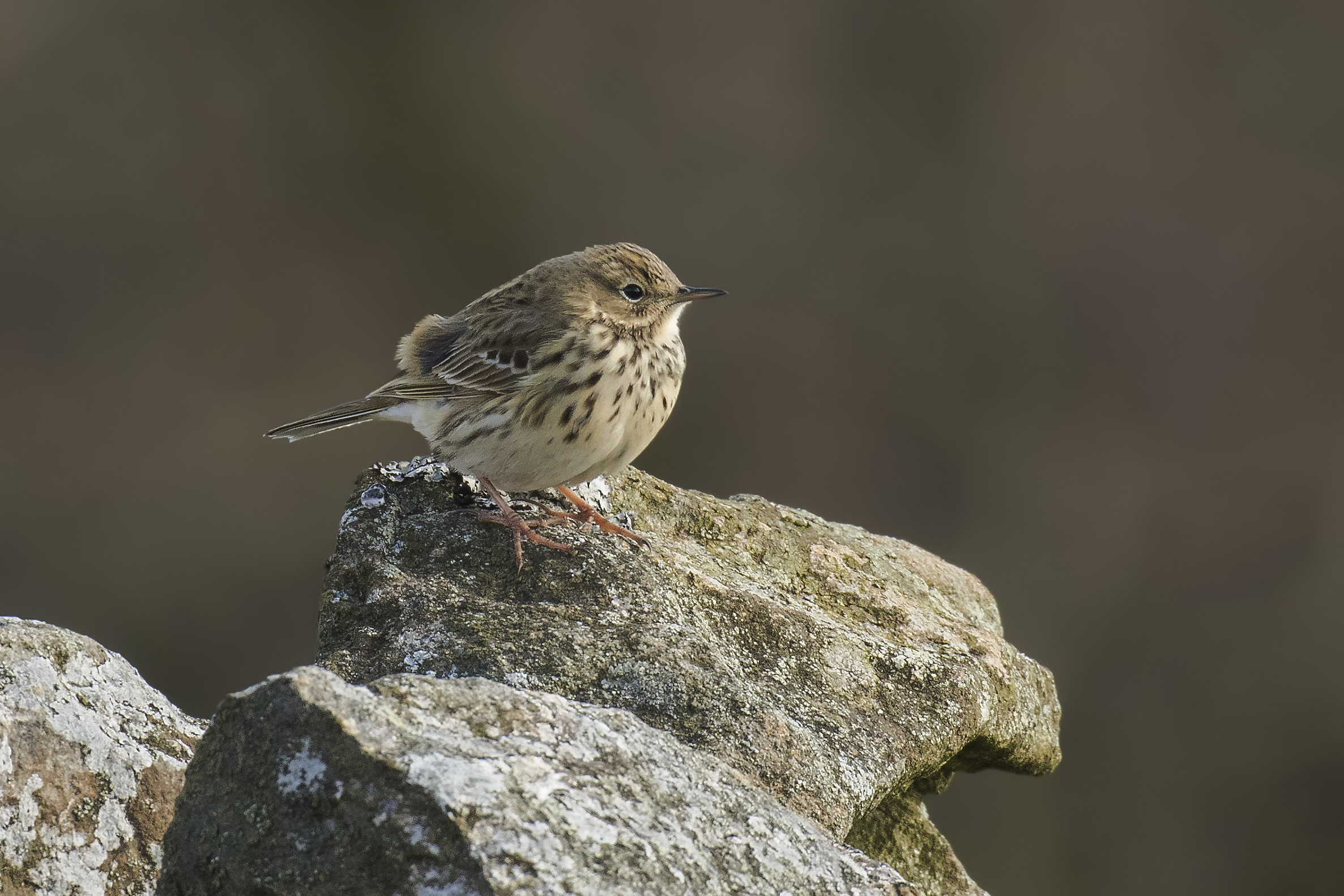 Meadow Pipit 9th March