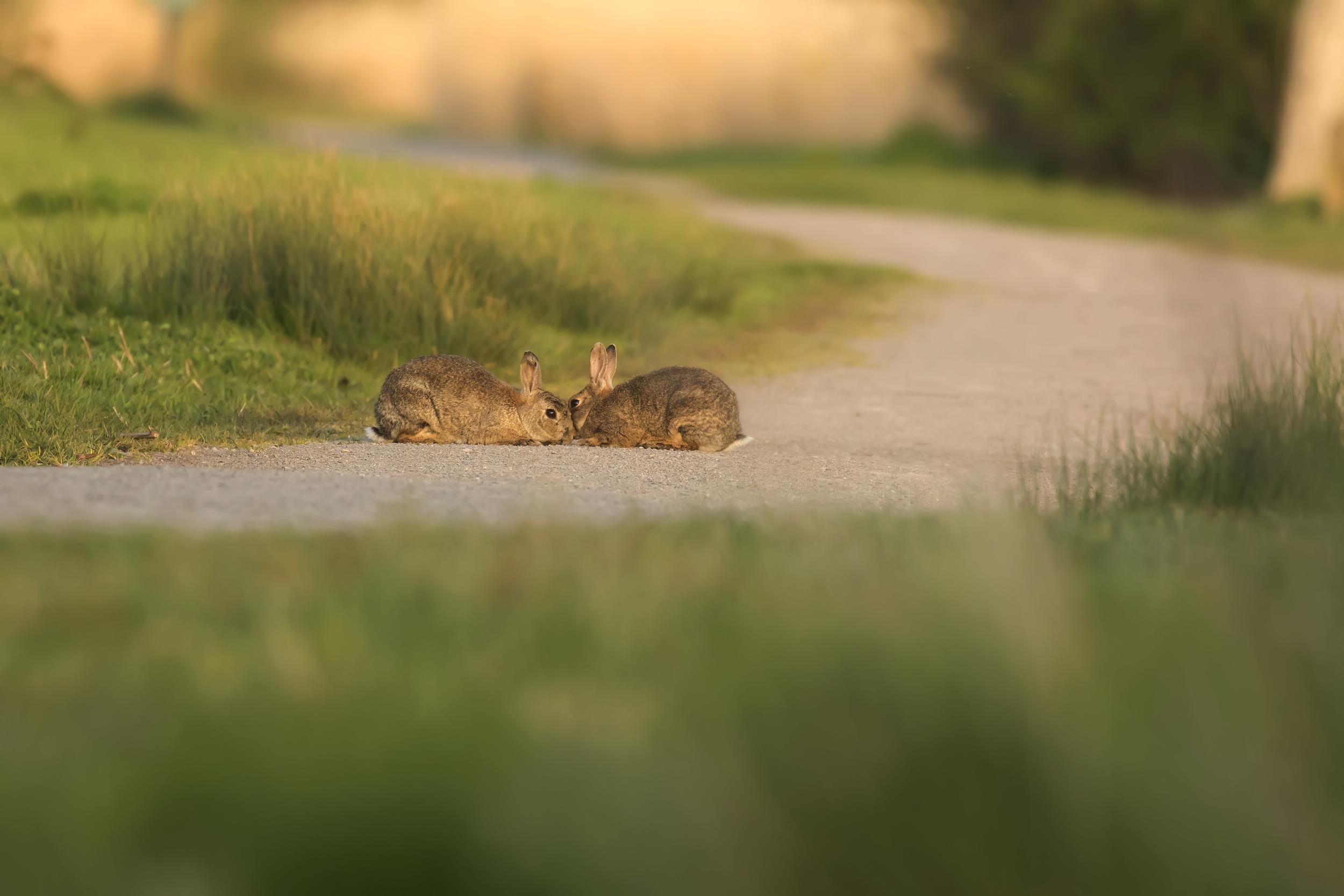 Rabbit Love 4th May.png