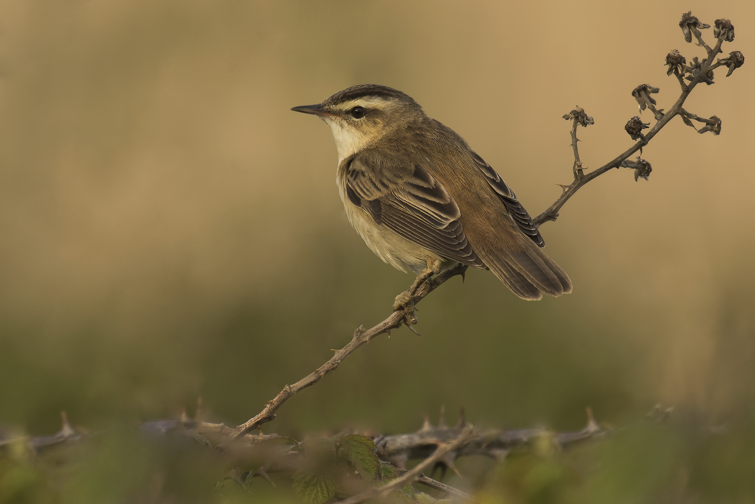 Sedge Warbler 5th May.png
