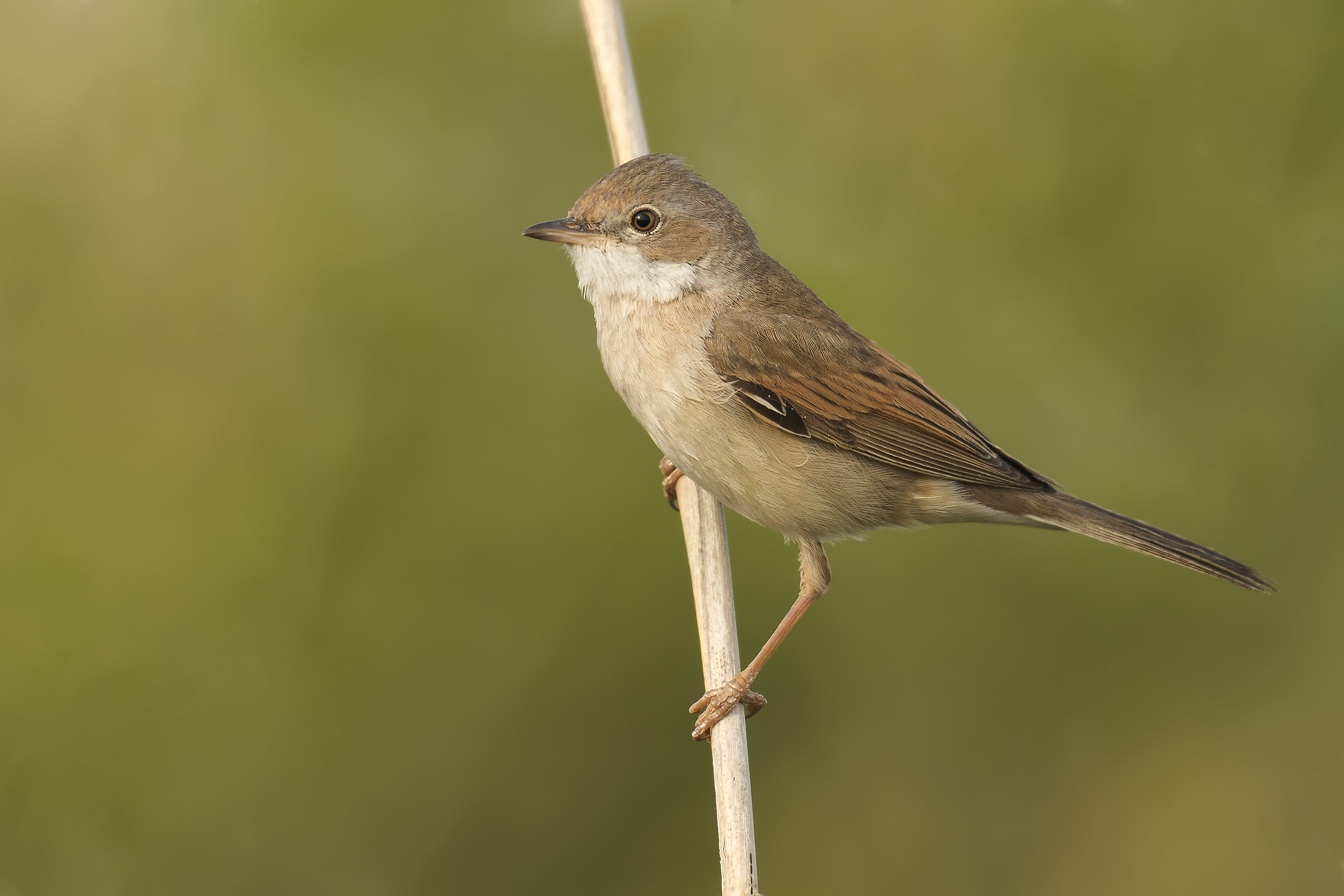 Whitethroat 5th May.png