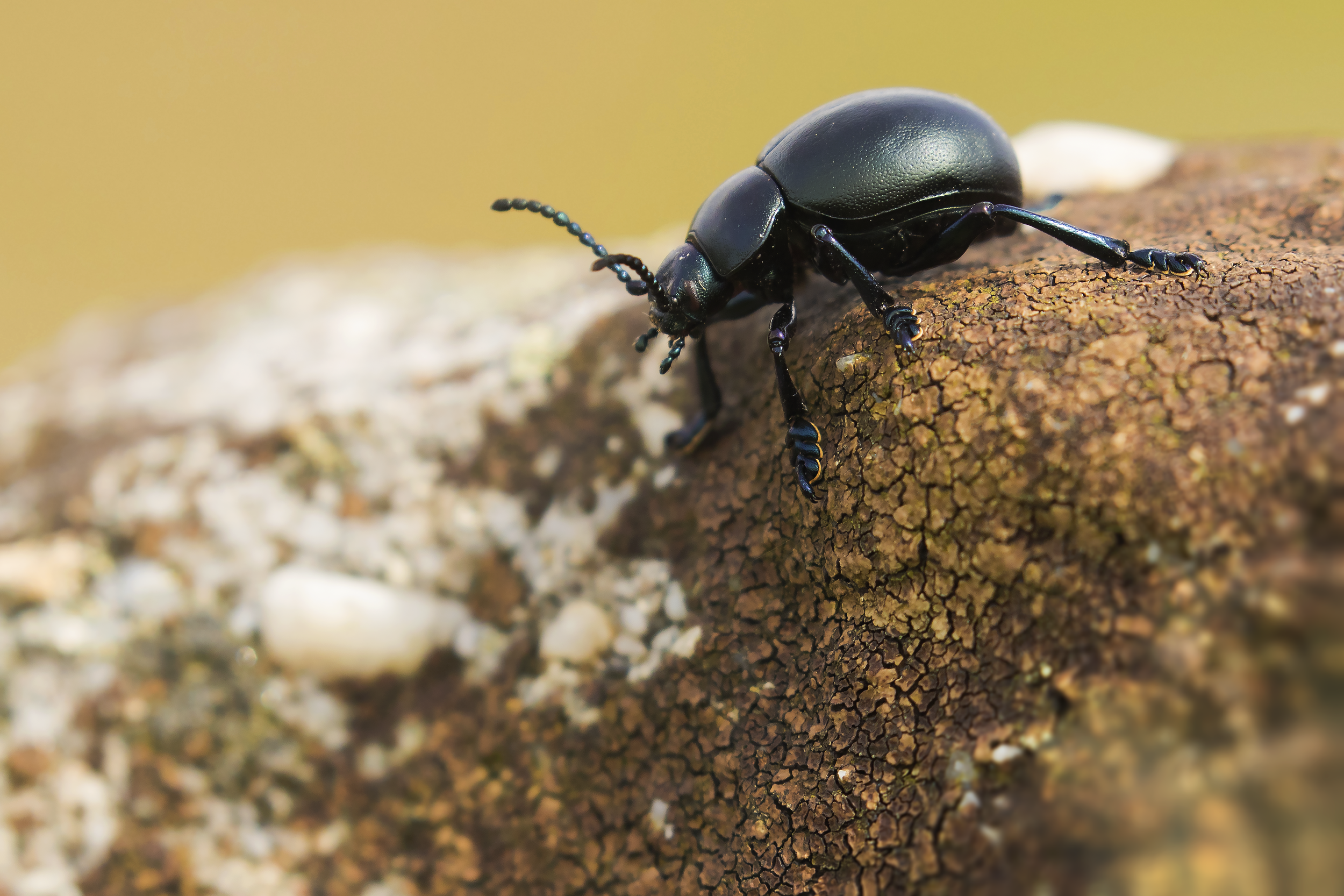 Bloody-nosed Beetle 6th May.png