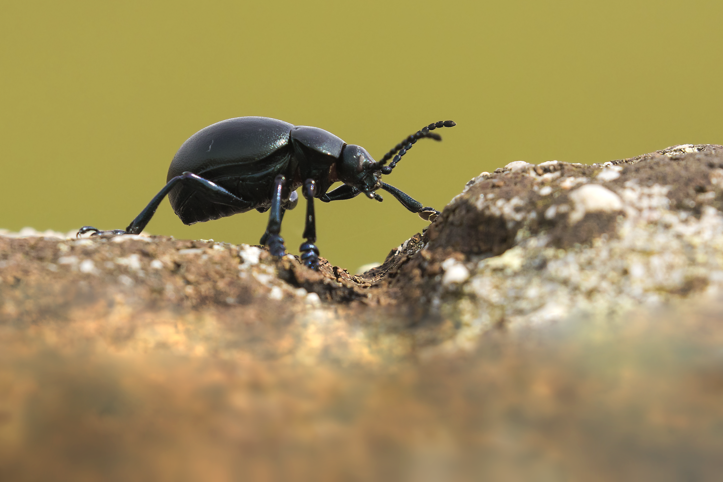 Bloody-nosed Beetle 2 6th May.png