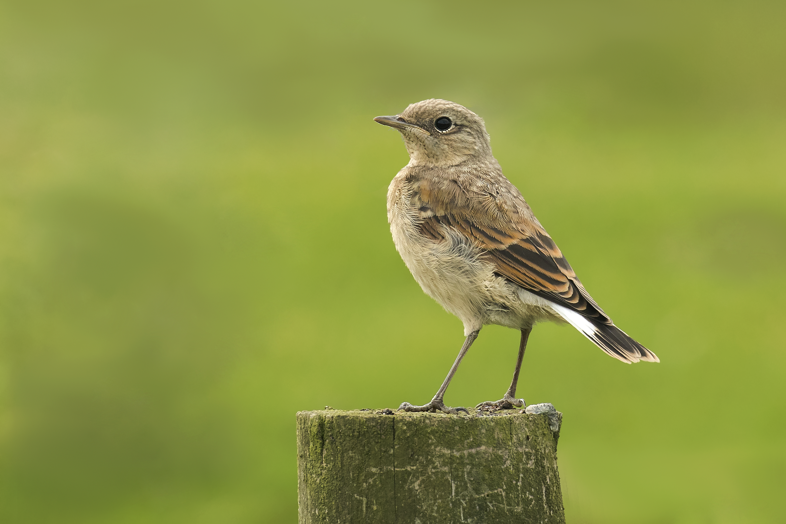 Wheatear Chick 20th June.png