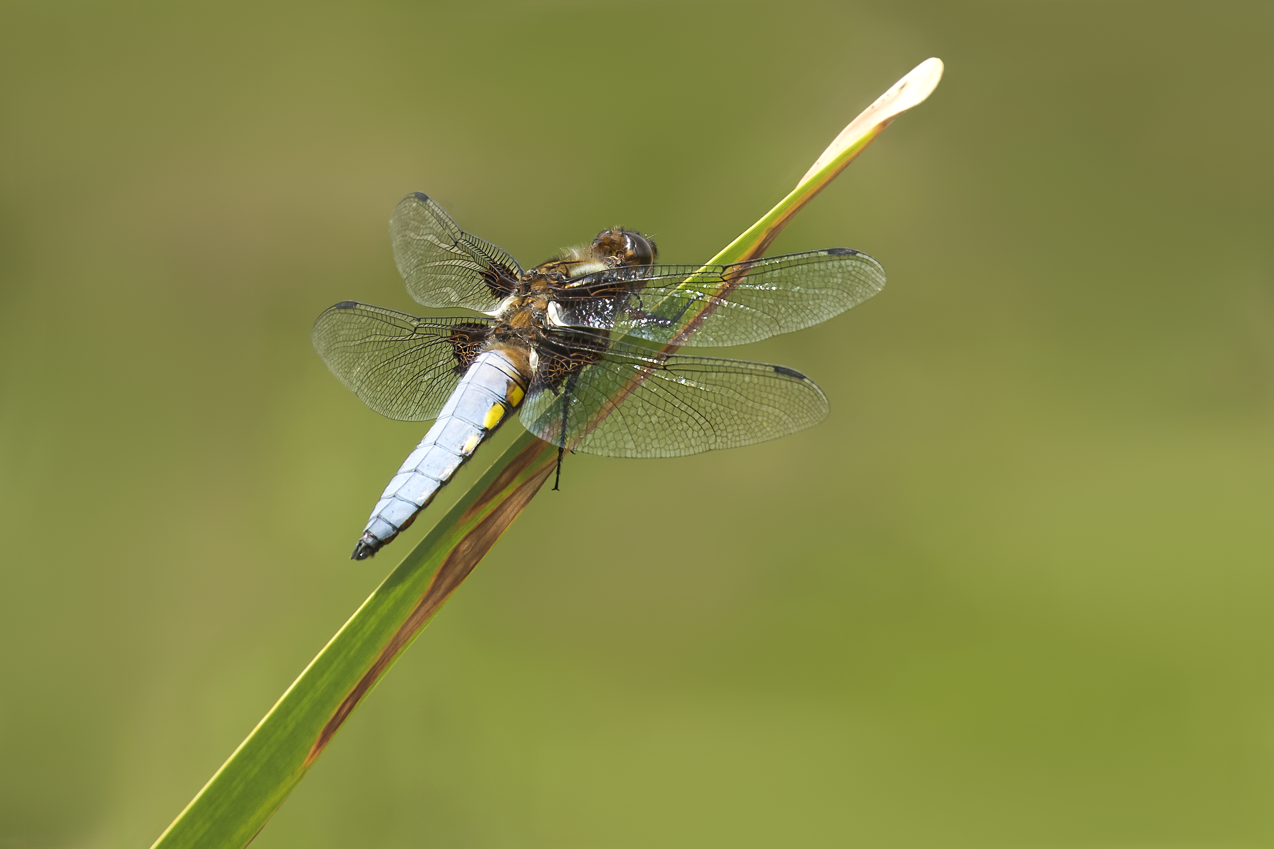 Male Broad-Bodied Chaser 23rd June.png