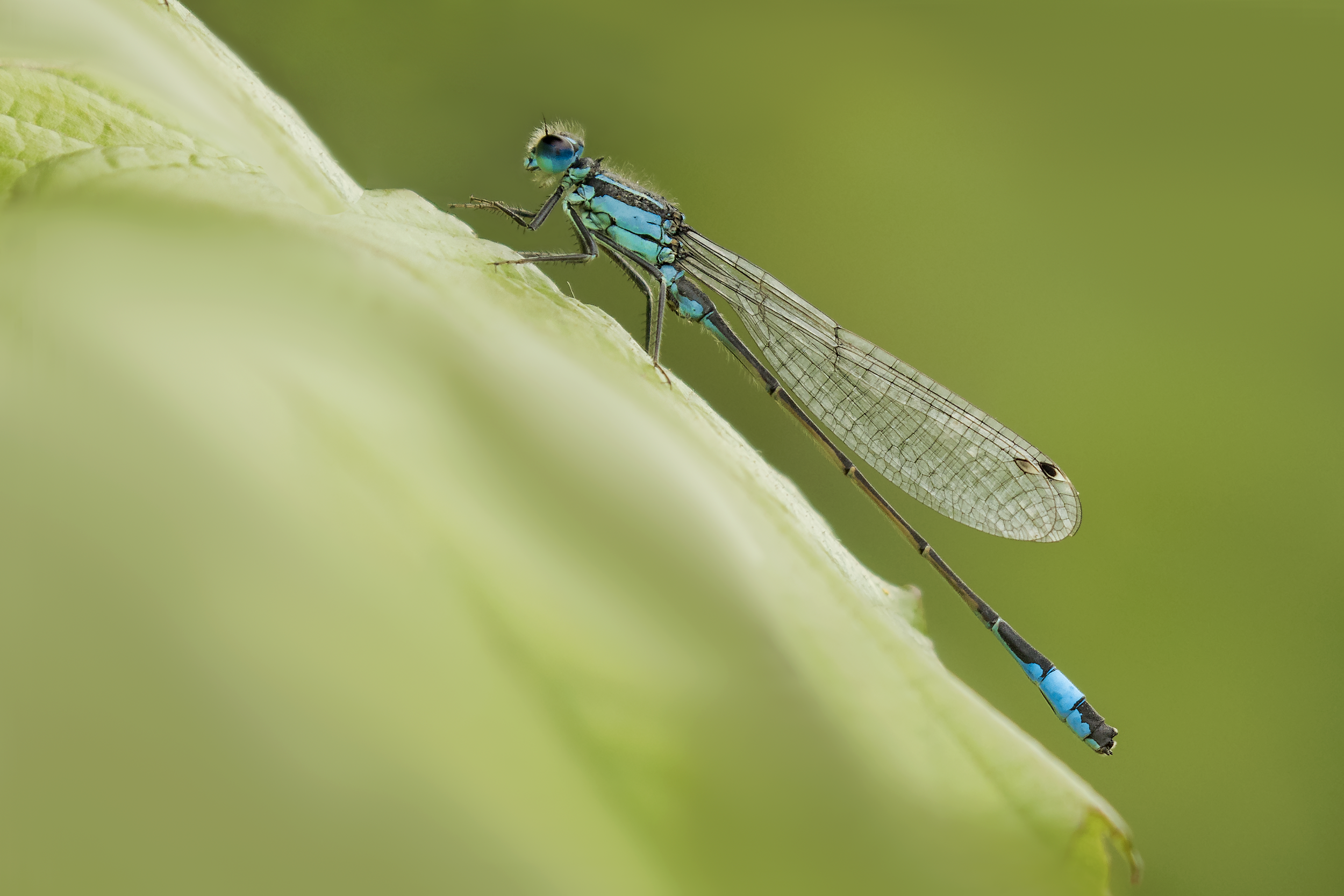 Blue-tailed Damselfly 26th June.png