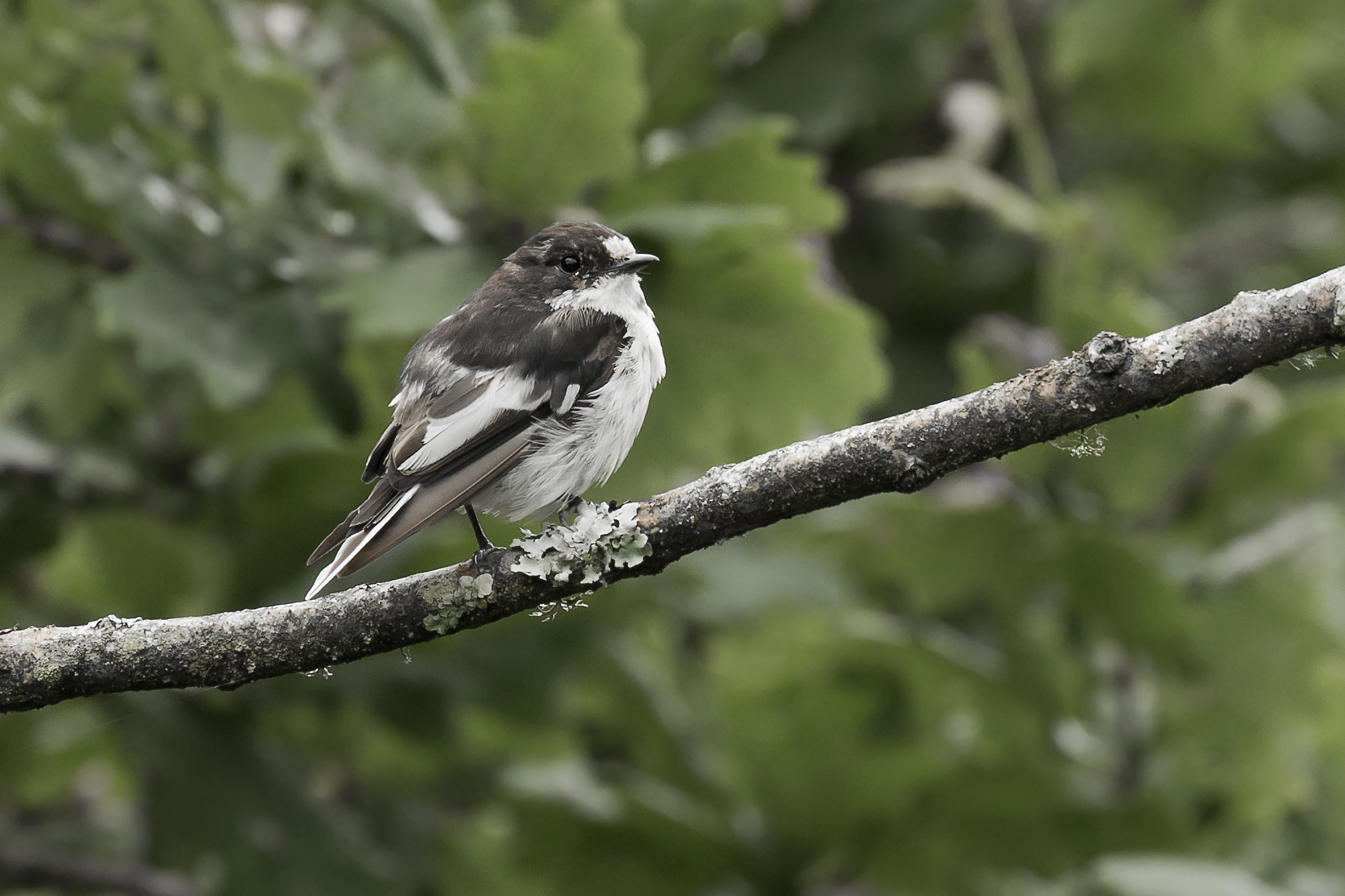 Pied Flycatcher Male (Possibly Juvi or Malt)
