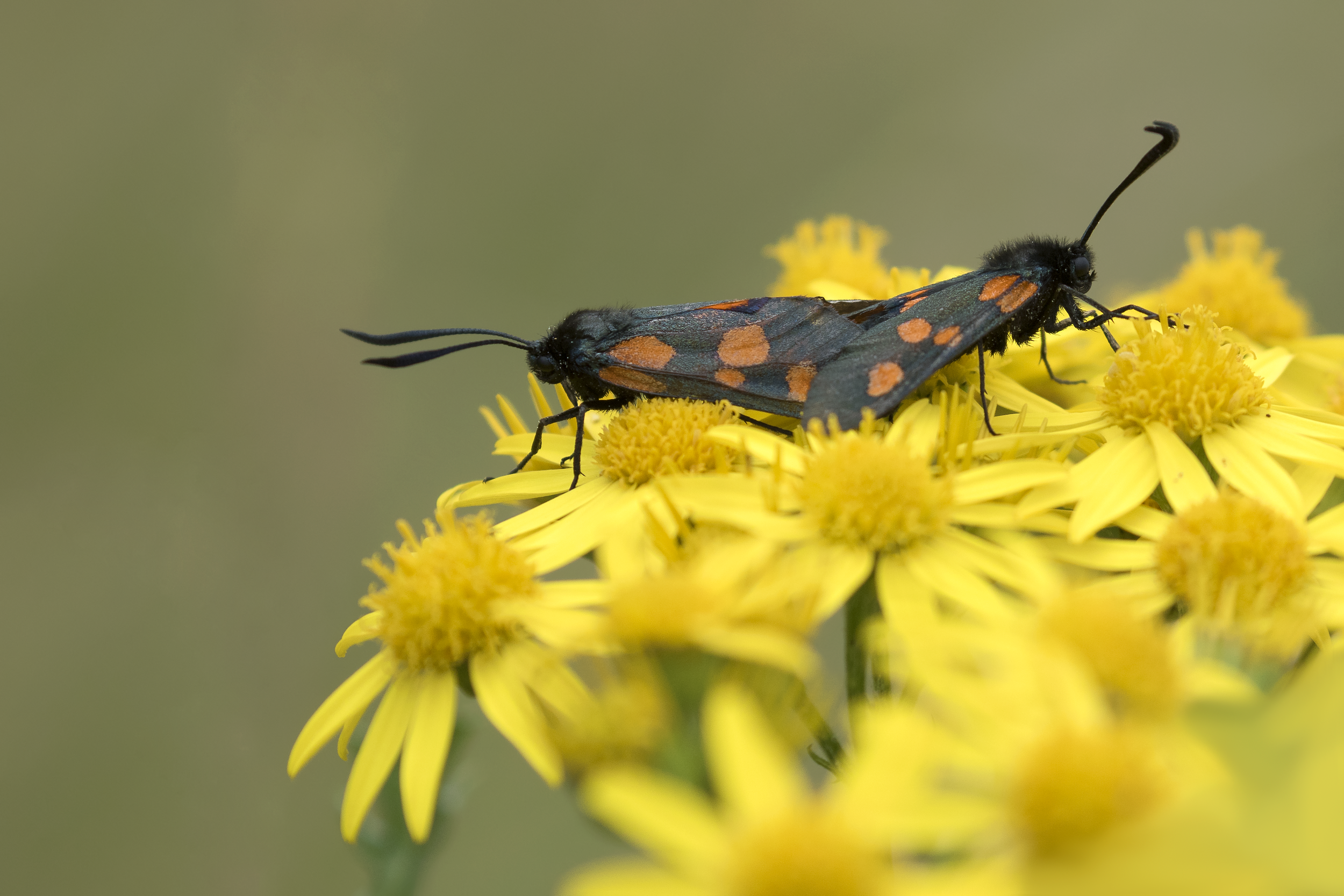 6-spot Burnet Moths