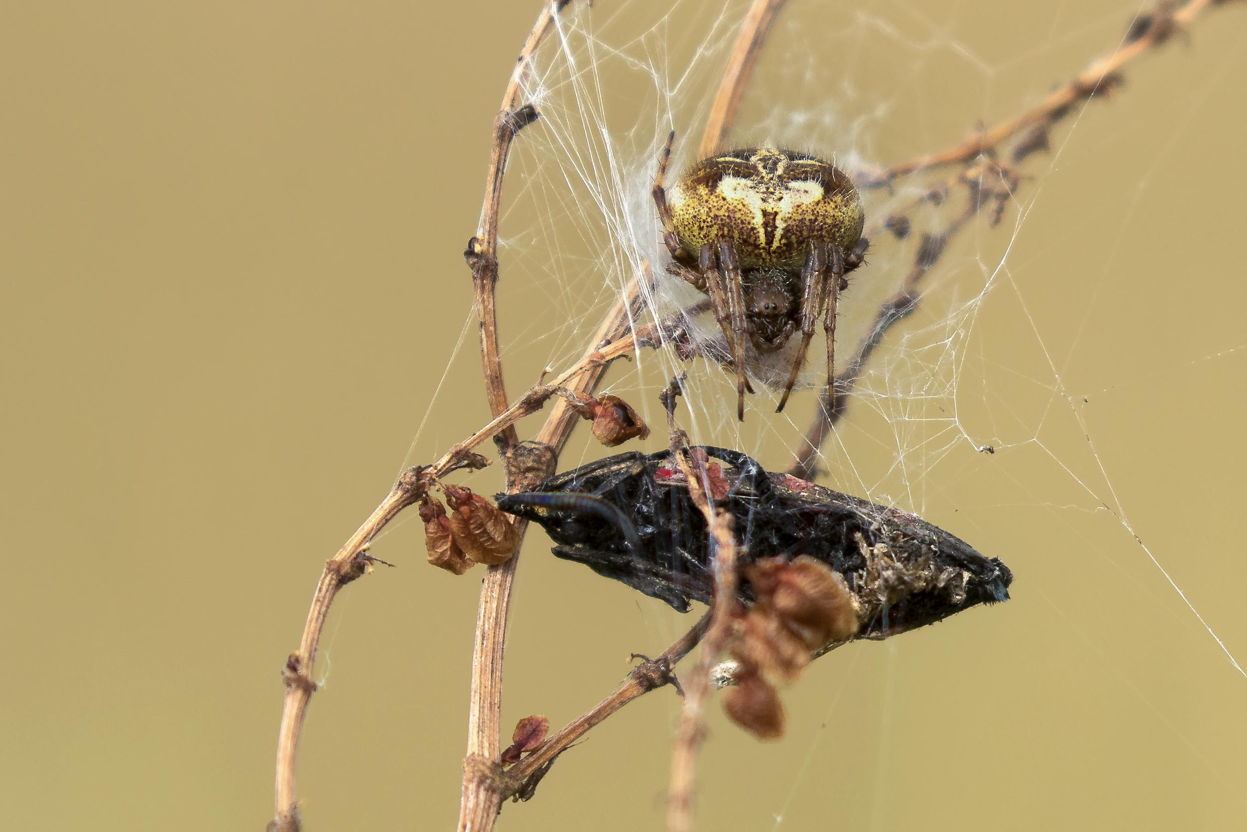 Common Orb-weaver Spider eating 5 Spot Burnet Moth