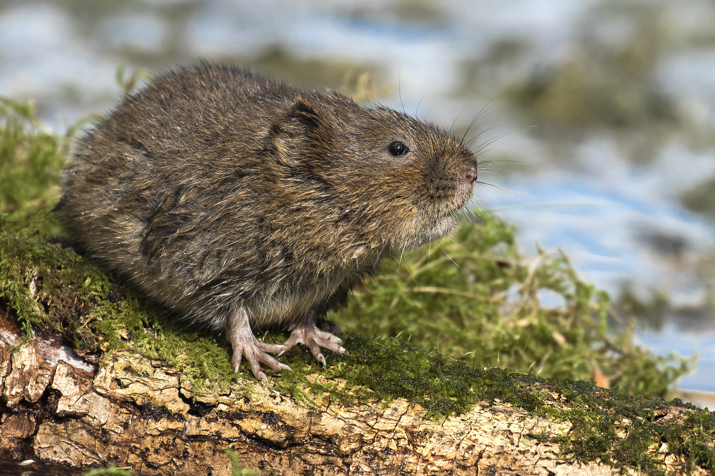 Water Vole Sharp
