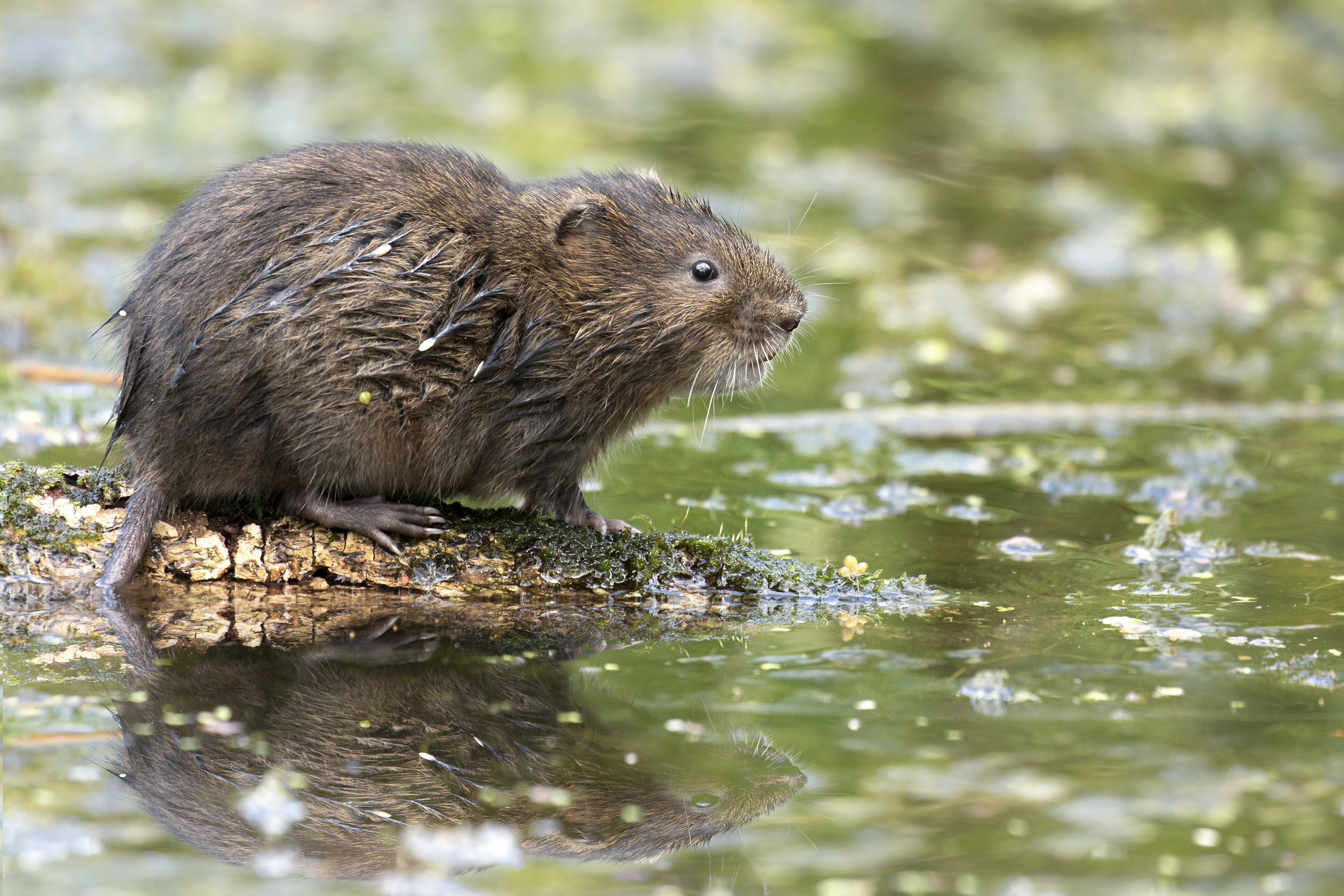 Water Vole Favourite