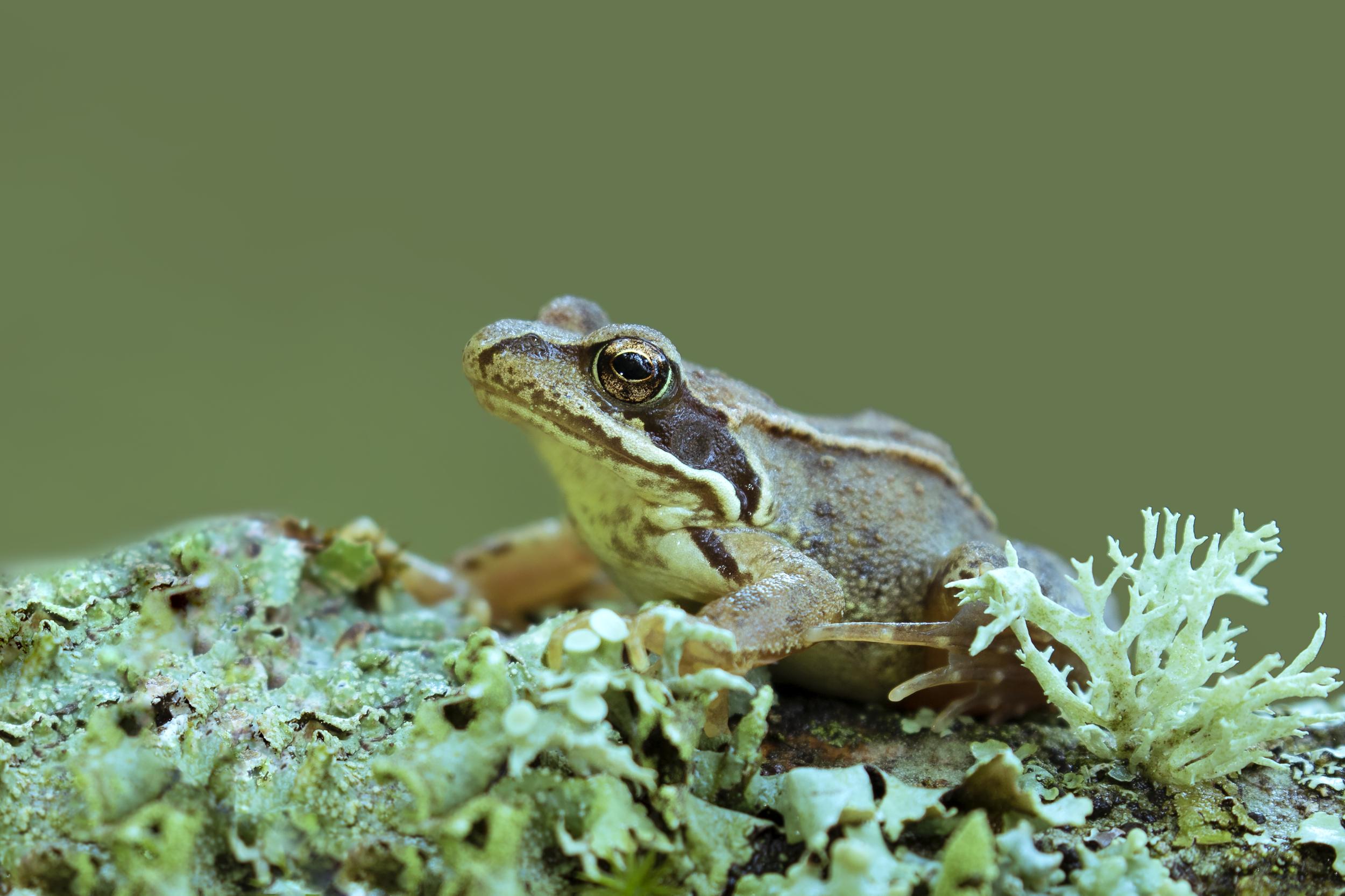 Froglet Log