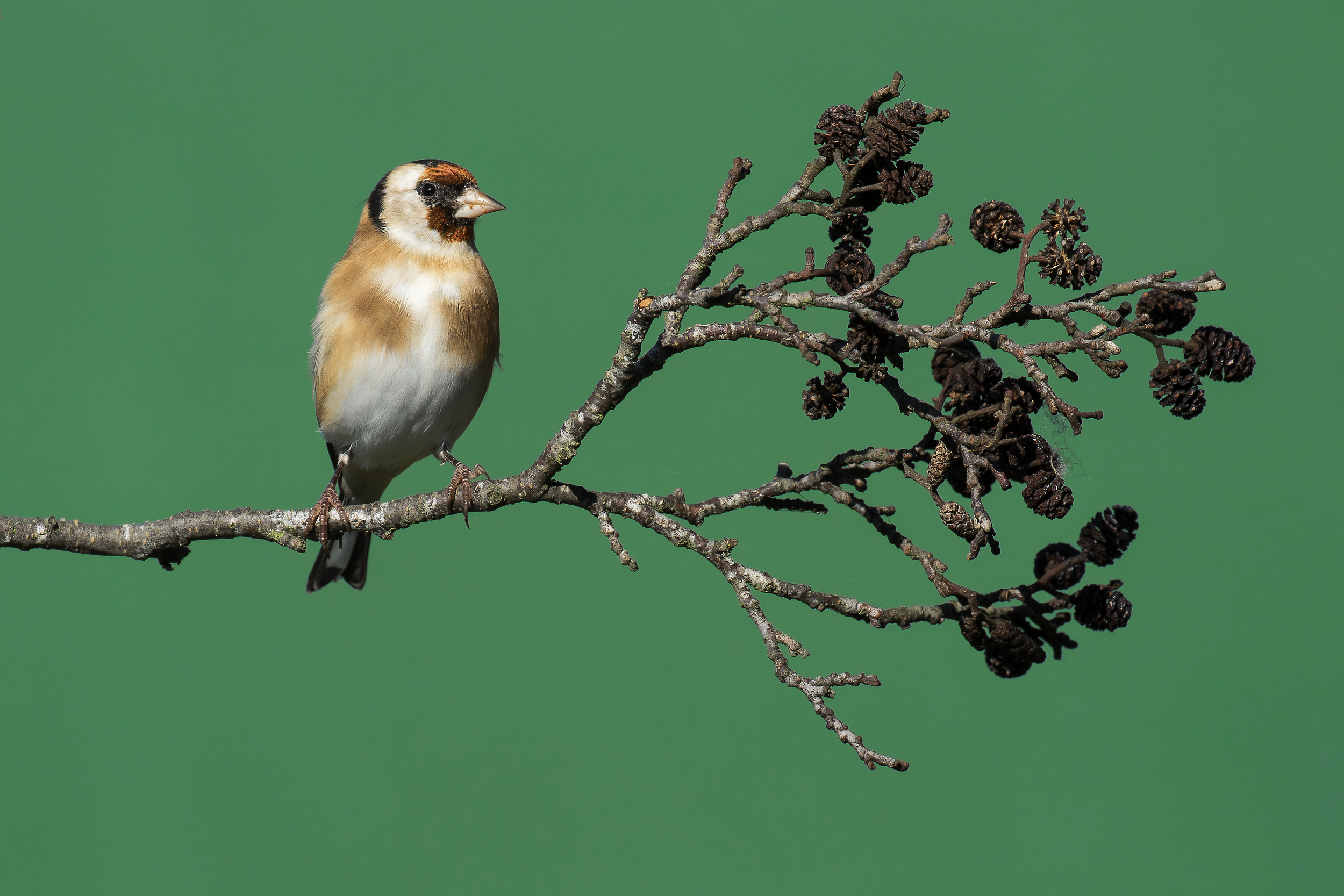 Goldfinch 2nd October.png