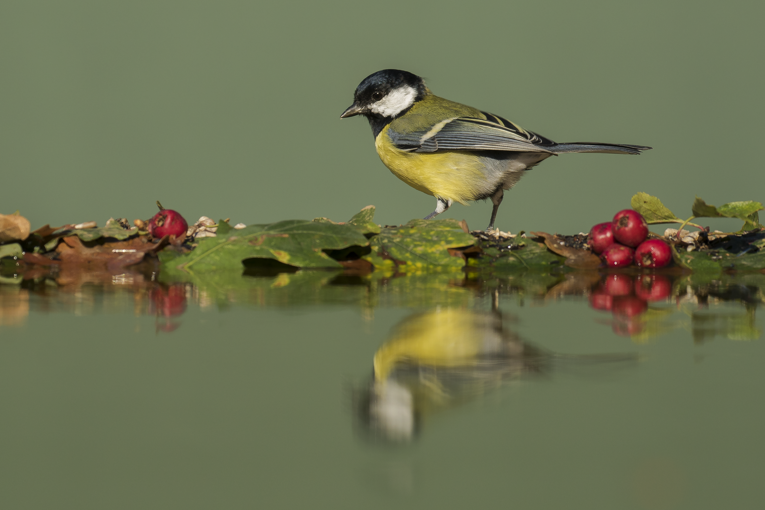 Great Tit 2nd October.png