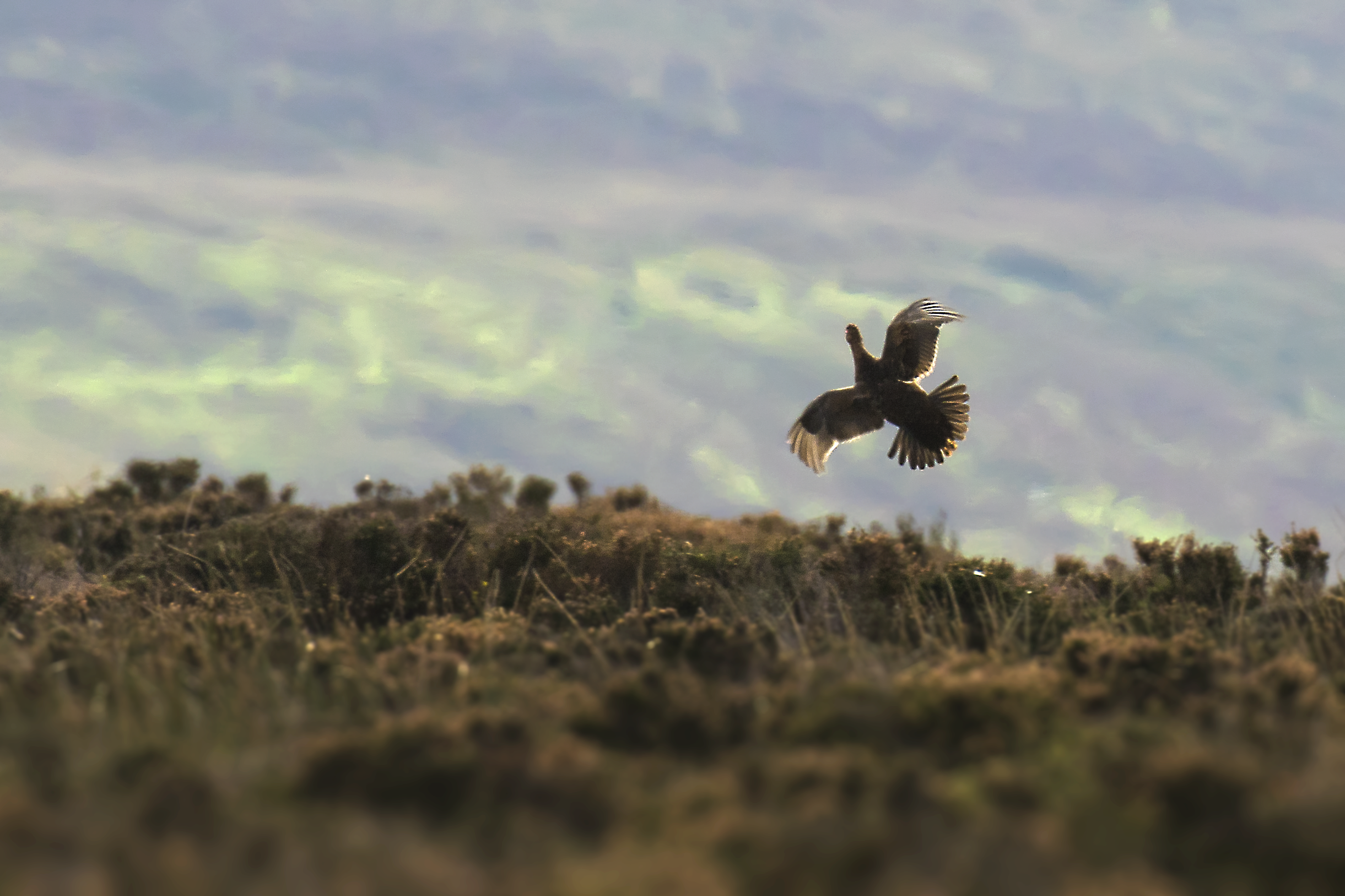 Red Grouse 10th October.png