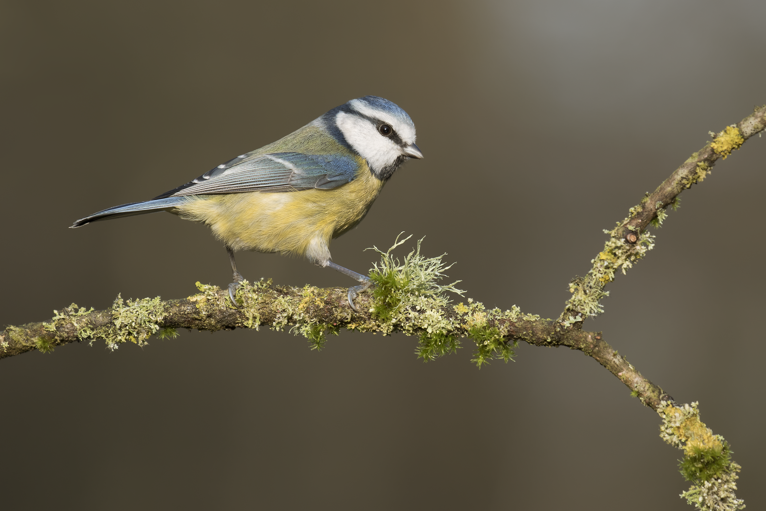 Blue Tit 20th December.png