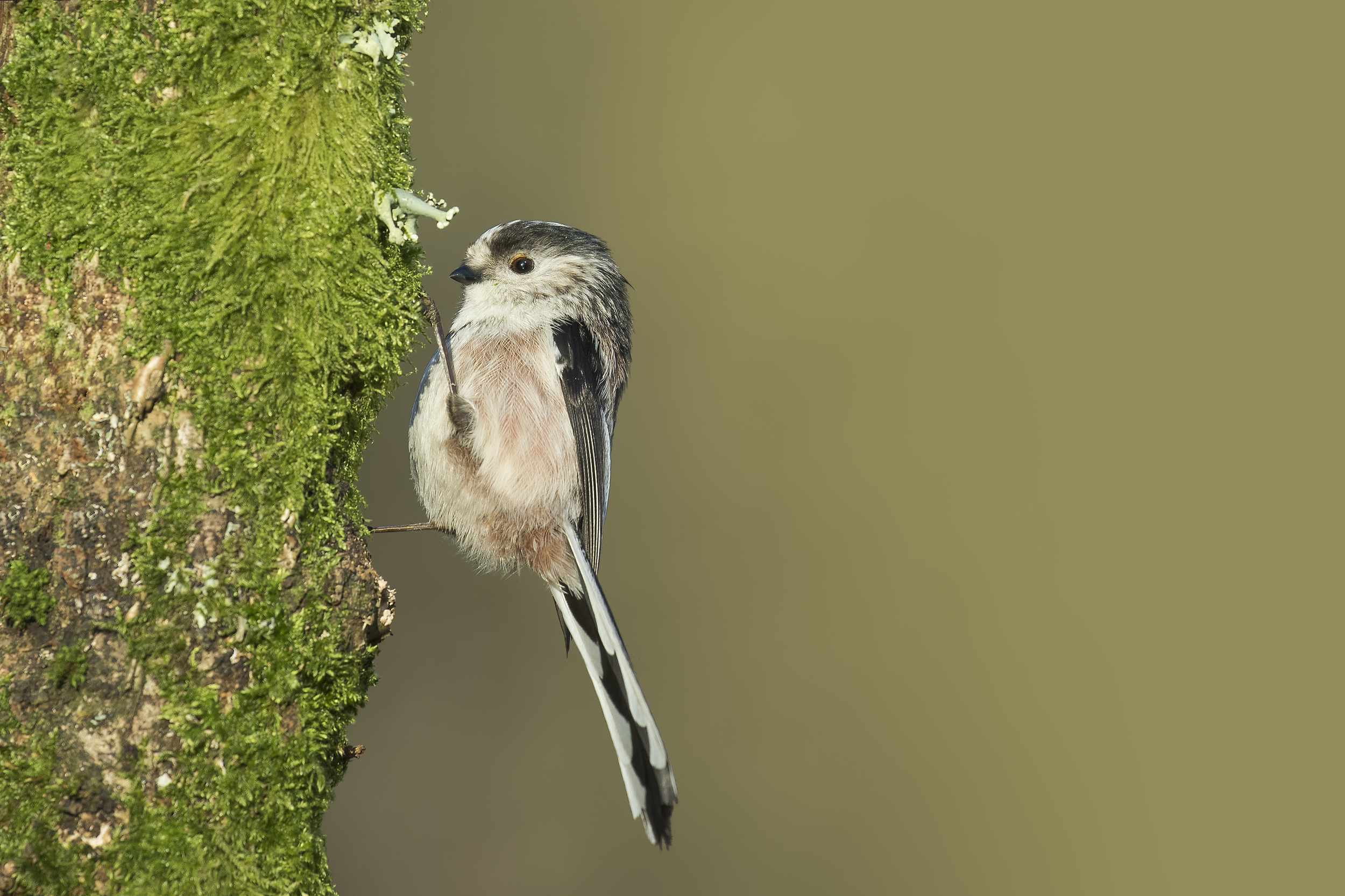 Long-tailed Tit V 28th December.png