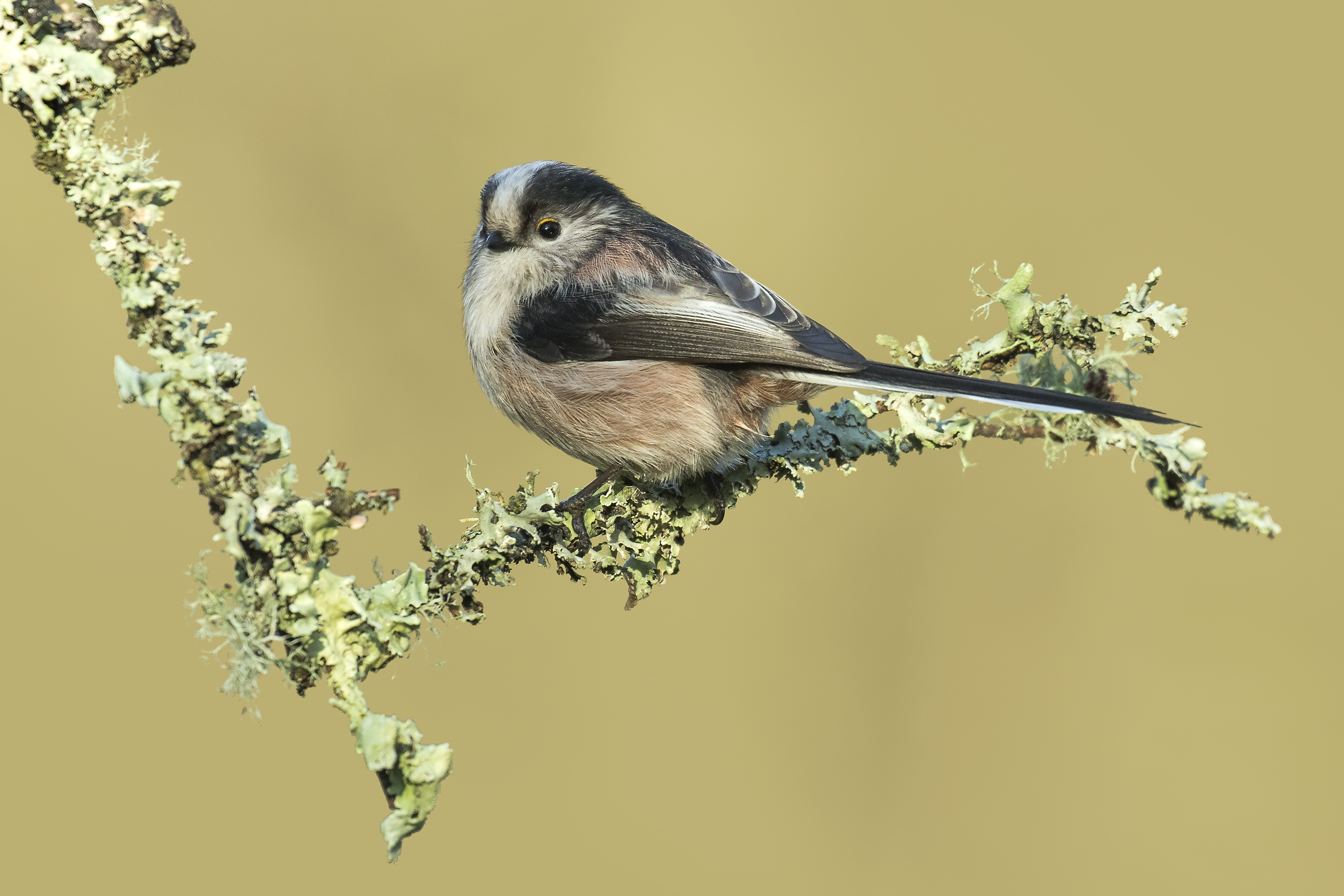 Long-tailed Tit 28th December.png