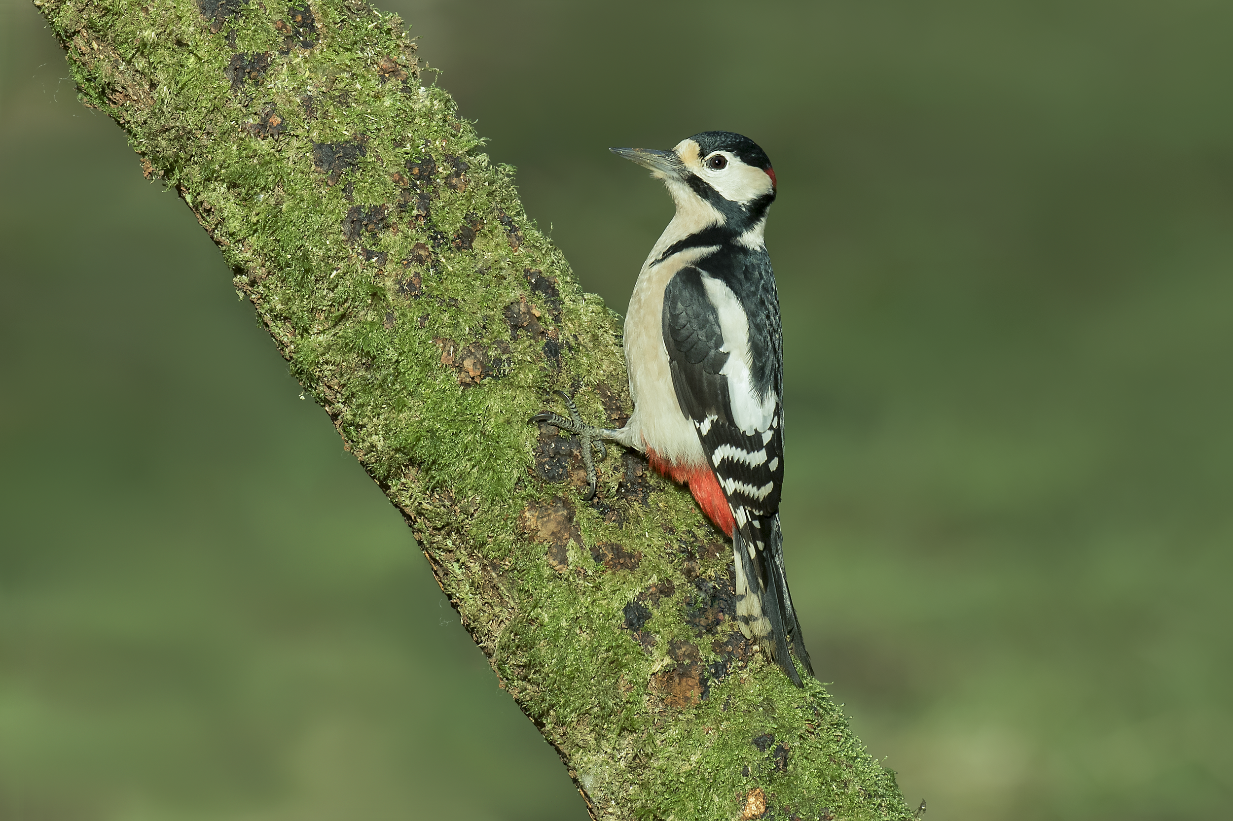 Great Spotted Woodpecker 28th December.png