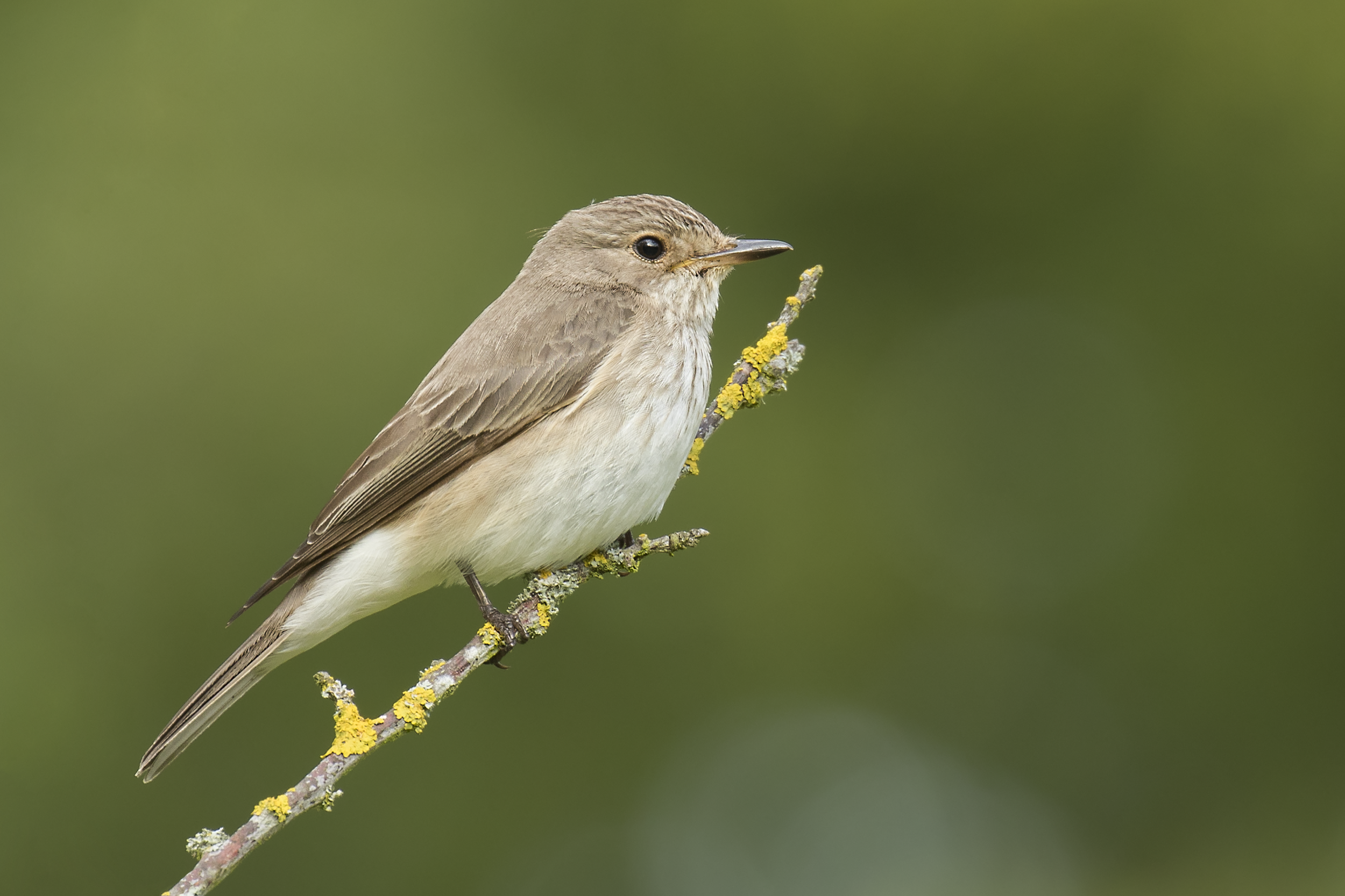 Spotted Flycatcher Crop 17th July.png