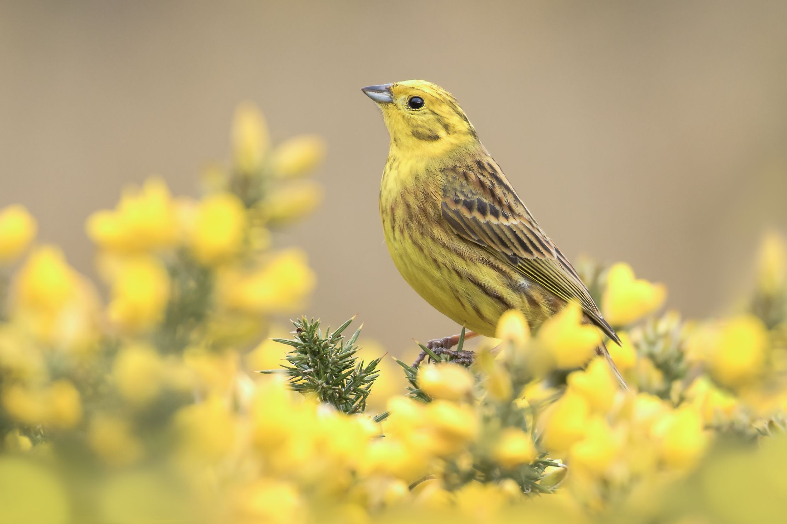 Yellowhammer Cloud 10th April.png