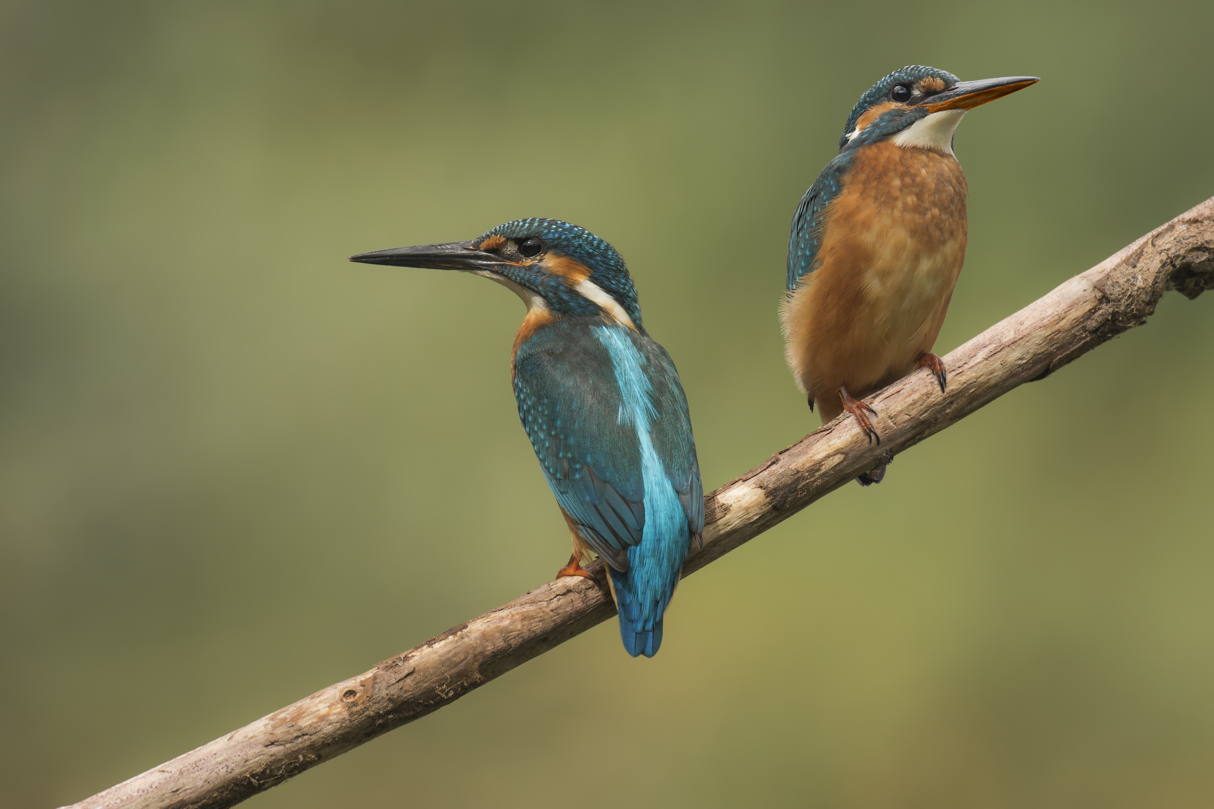 Kingfisher Pair 21st December.png