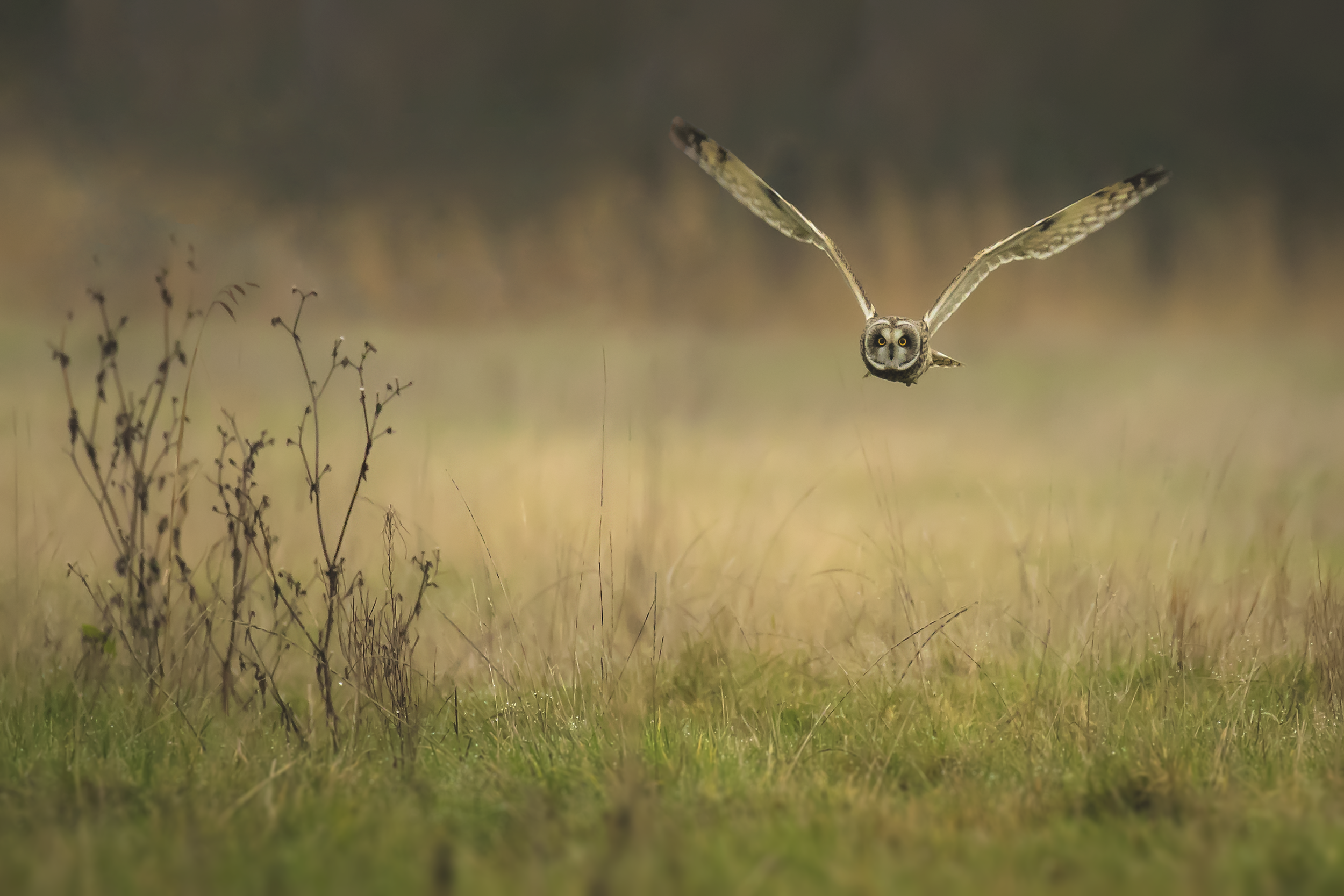Short-eared Owl Hunting 24th January.png