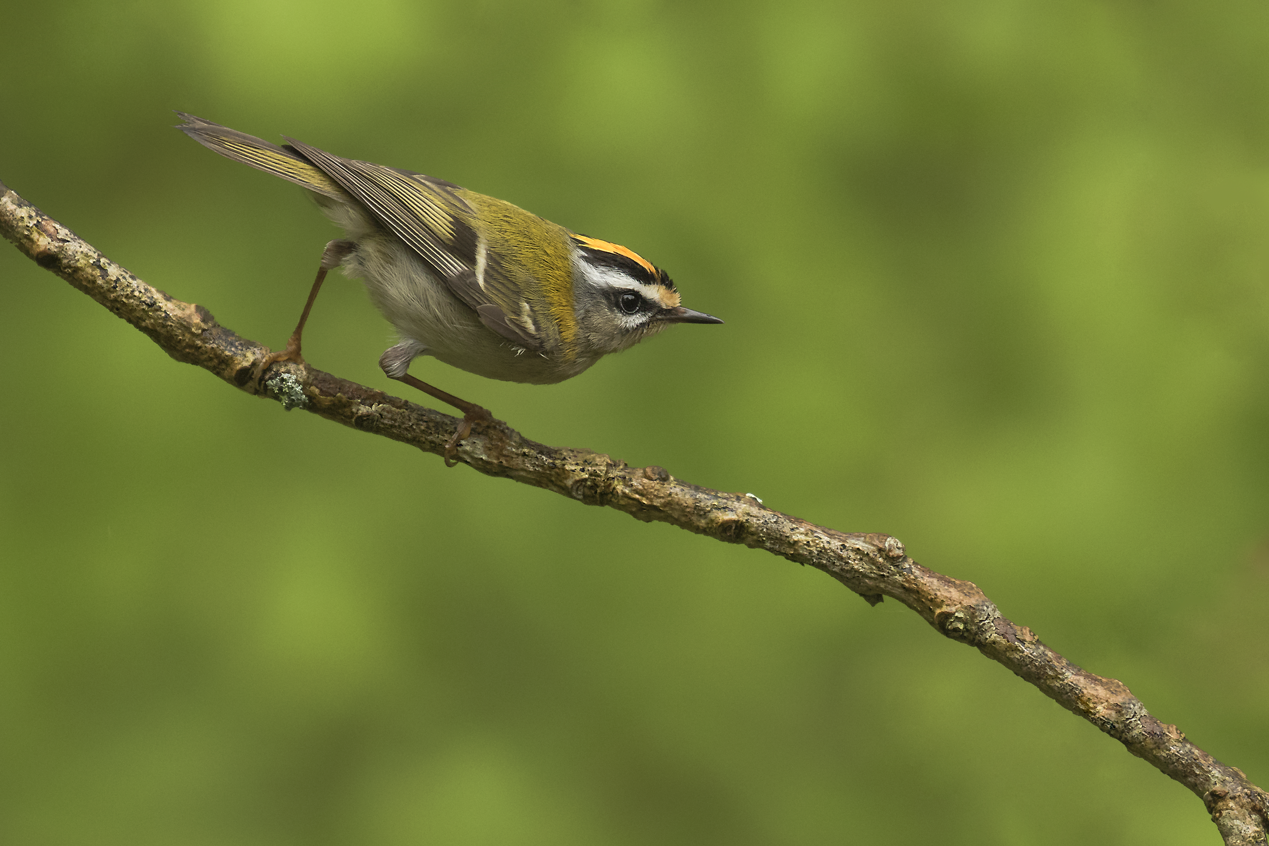 Firecrest 21st May C.png