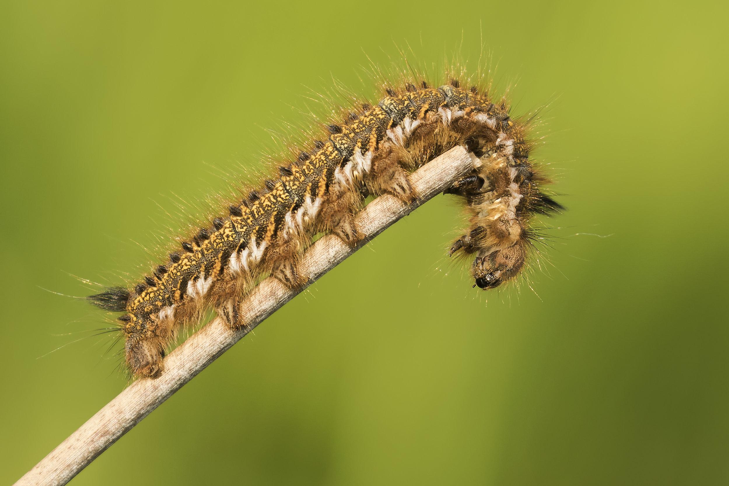 Drinker Moth Caterpillar 2nd June .jpg