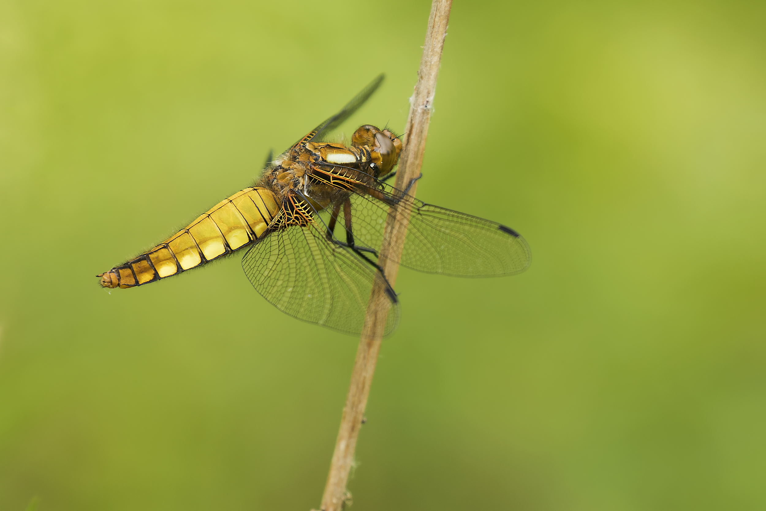 Female Broad-bodied Chaser 4th June.png