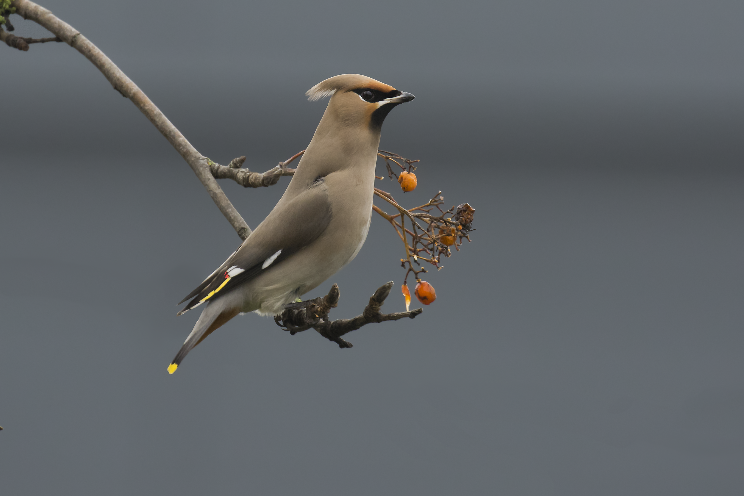 Waxwing, Grey Building Background