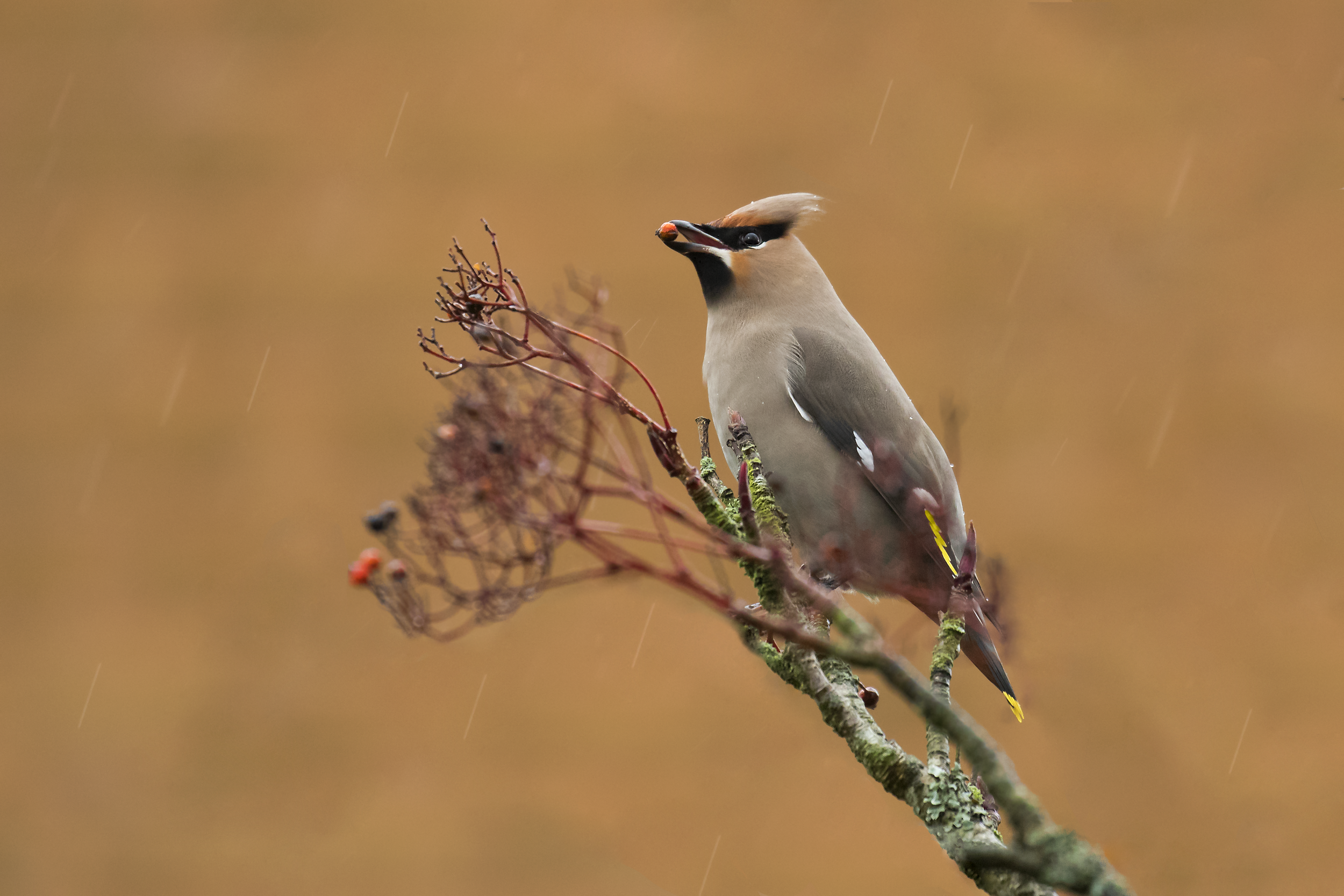 Waxwing With Berry.png
