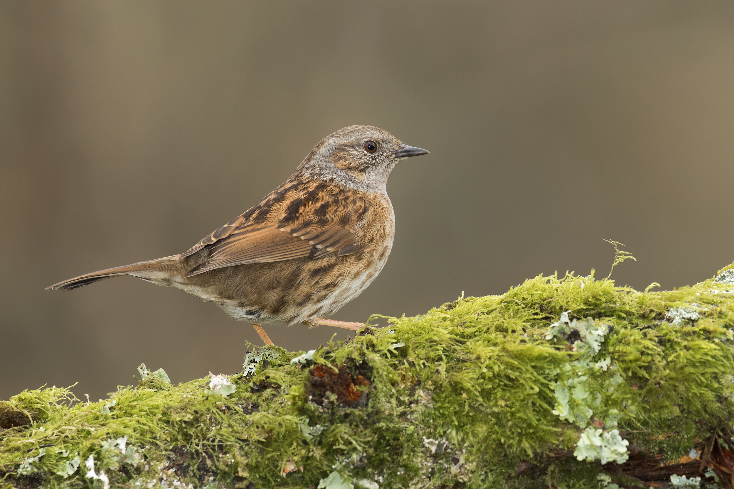 Dunnock 14th January.png