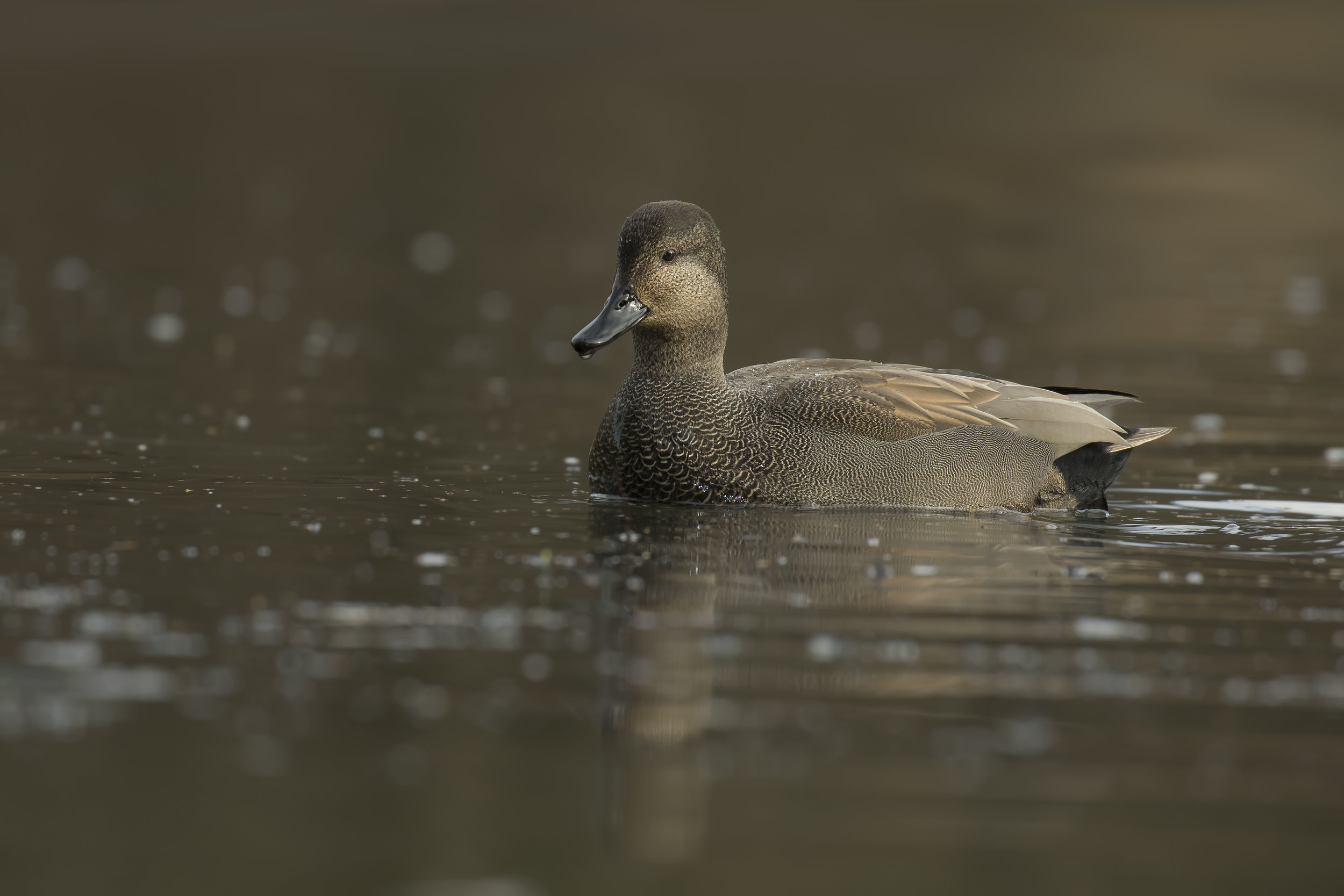 Gadwall 14th January.jpg