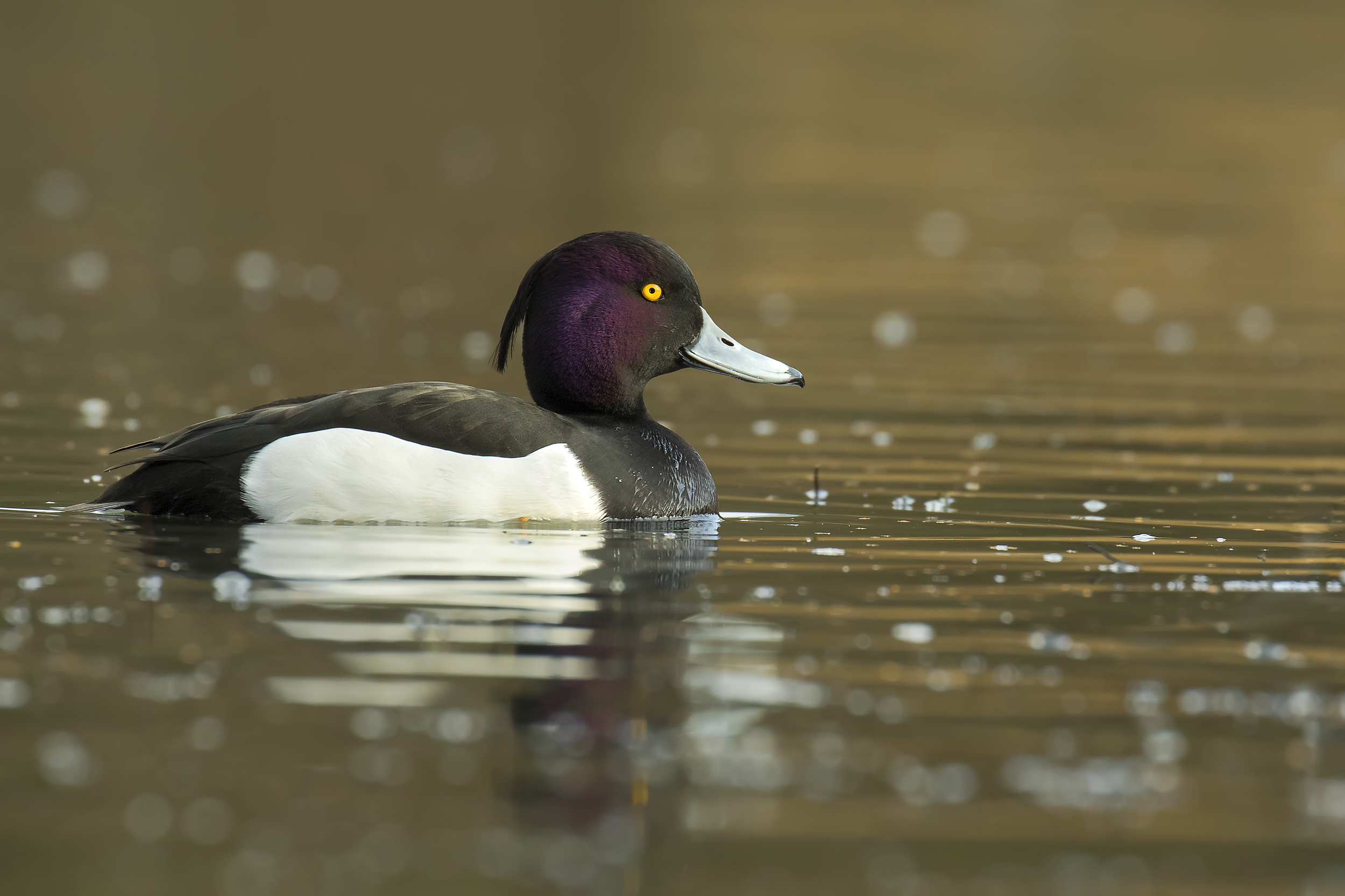 Male Tufted Duck 14th January.png