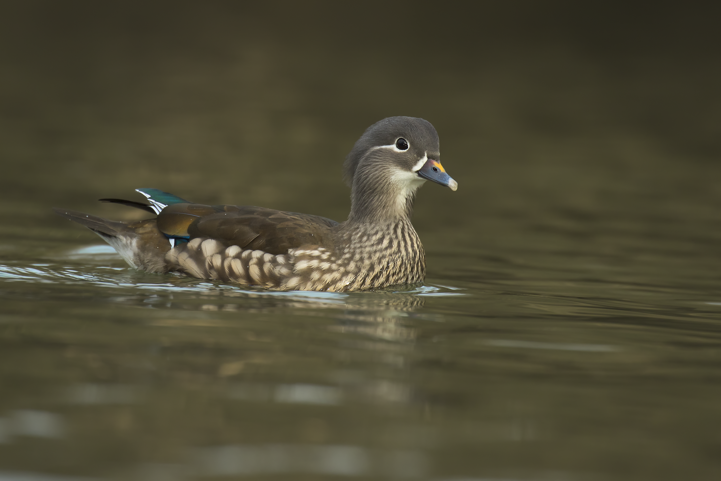 Female Mandarin 14th January.png