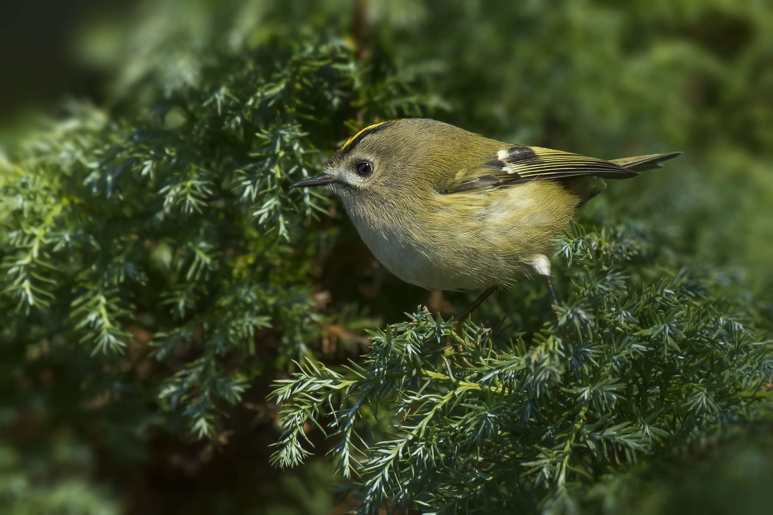 Goldcrest 21st January.png