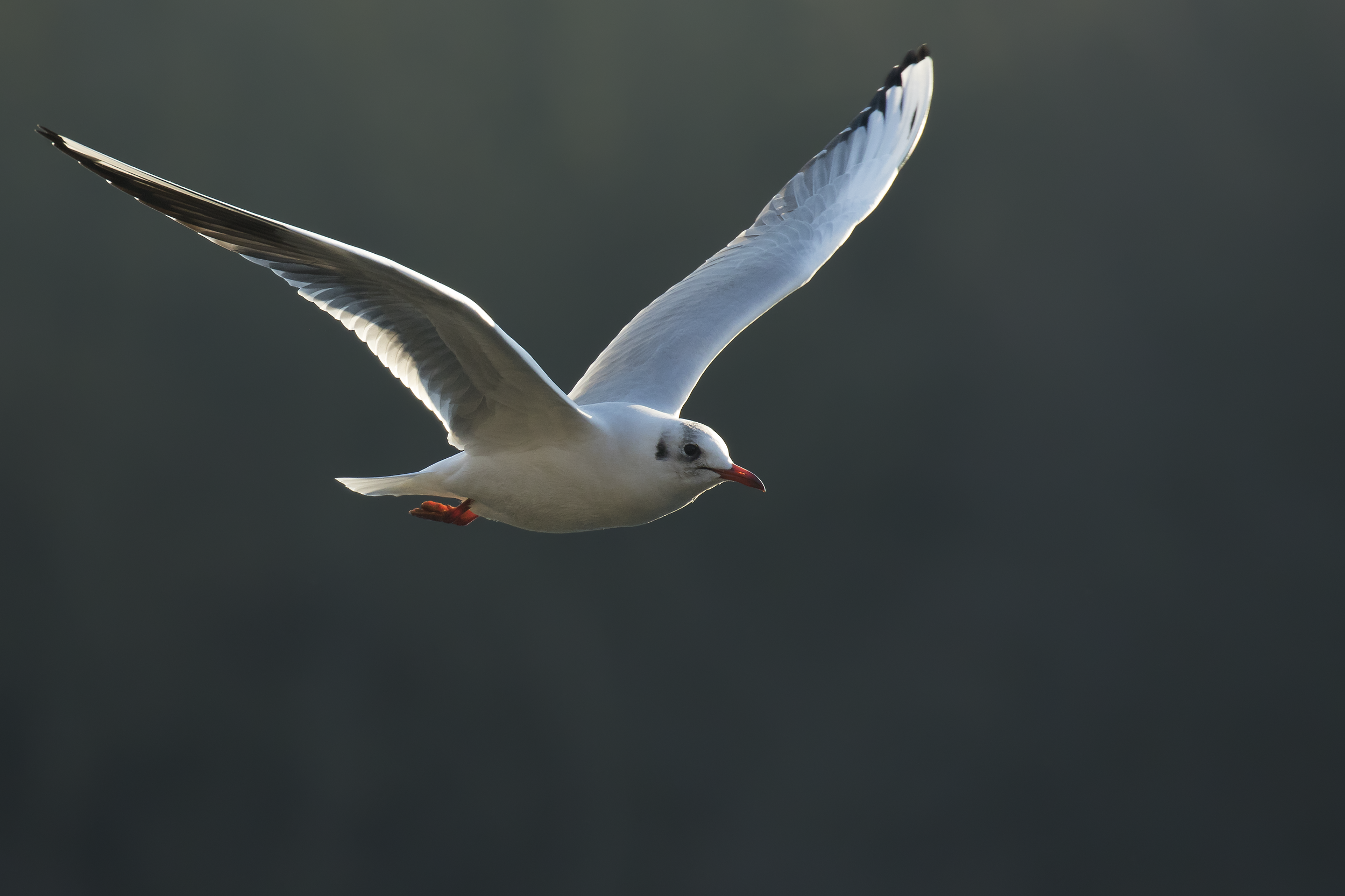 Black-headed Gull 21st January.png