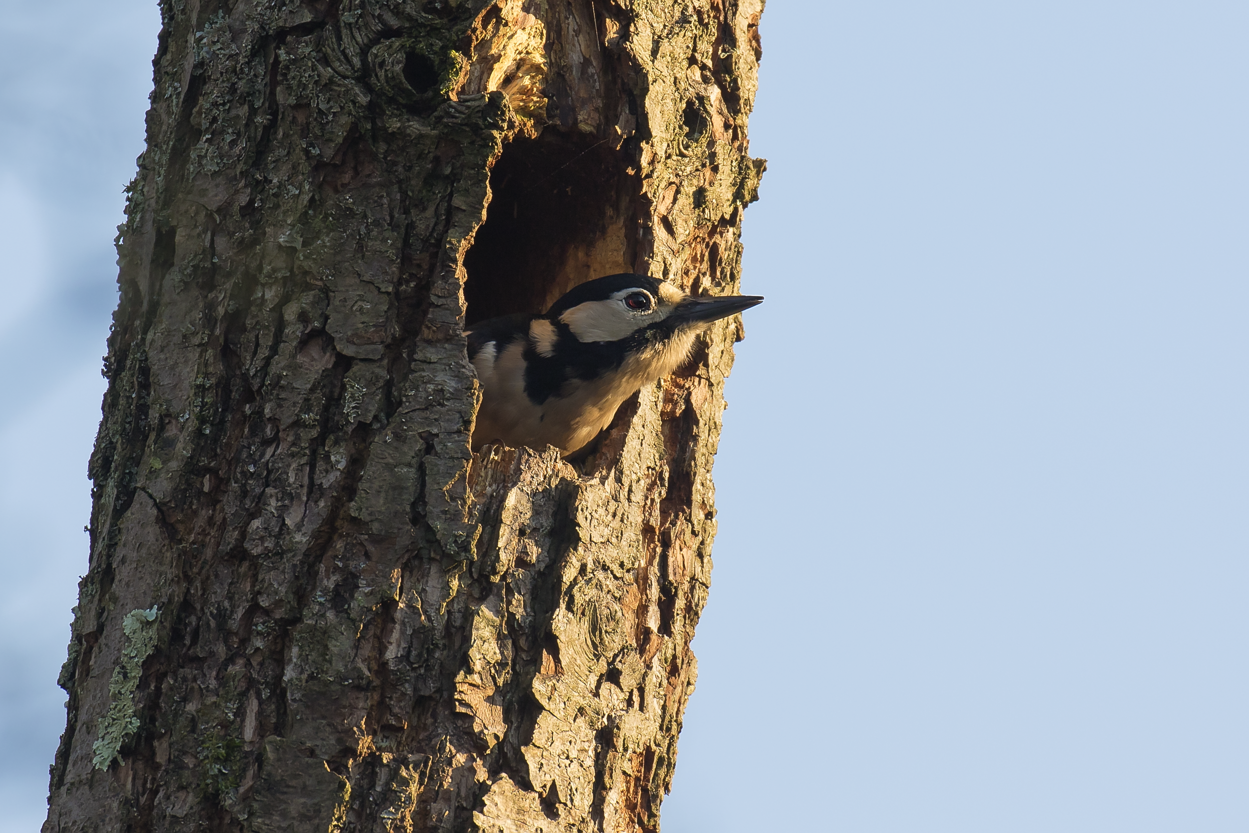 Great Spotted Woodpecker 21st January.png