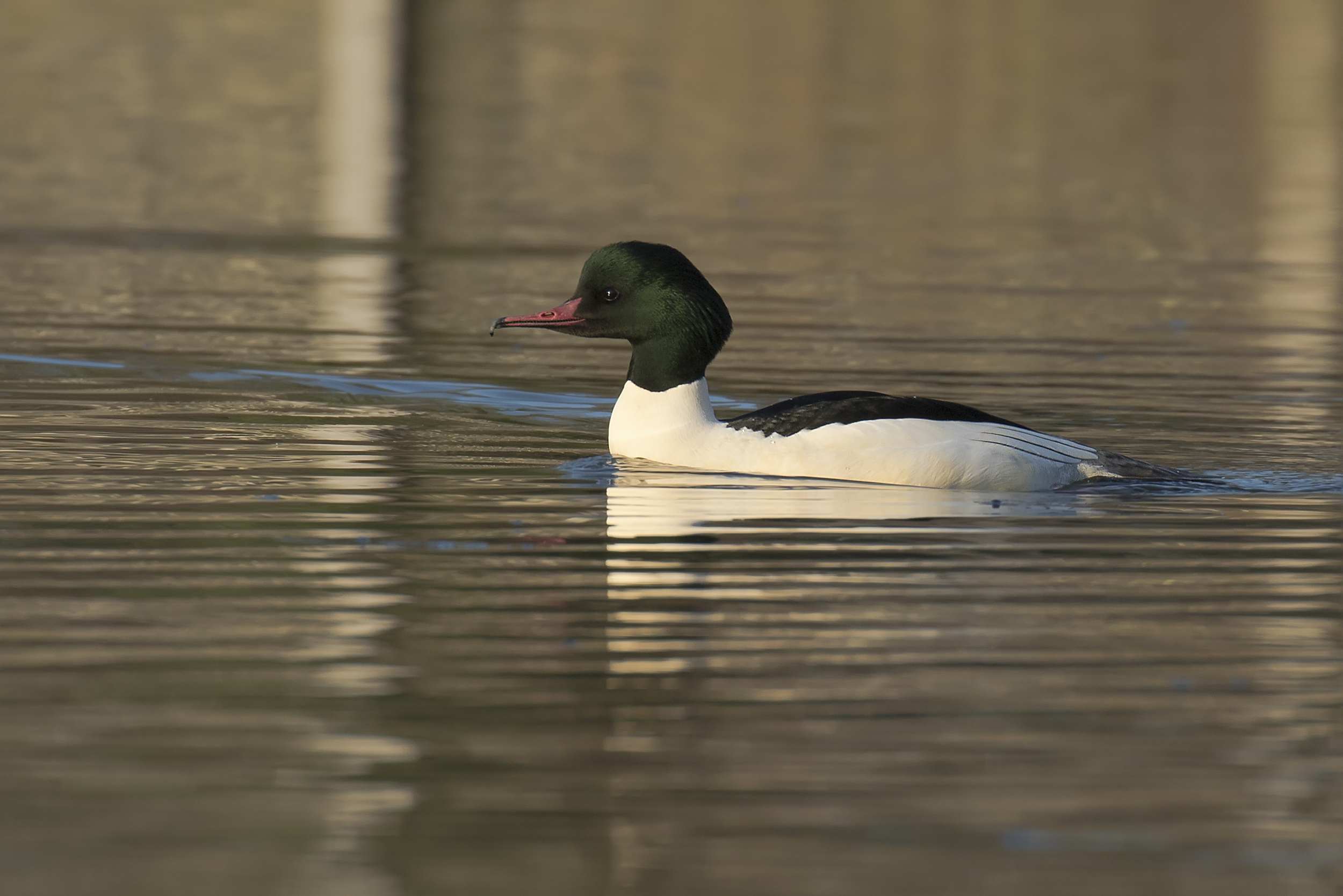 Male Goosander Sunshine 21st January.png
