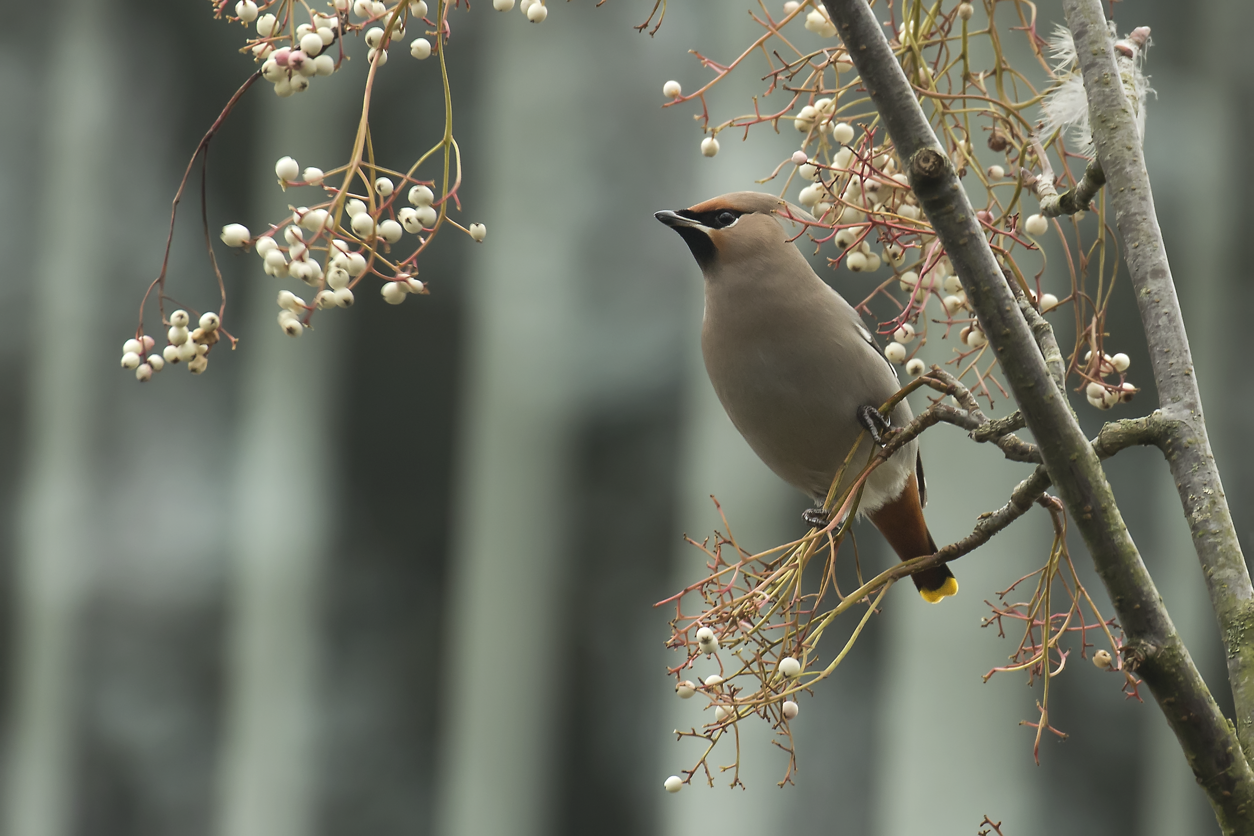 Waxwing 22nd January.png