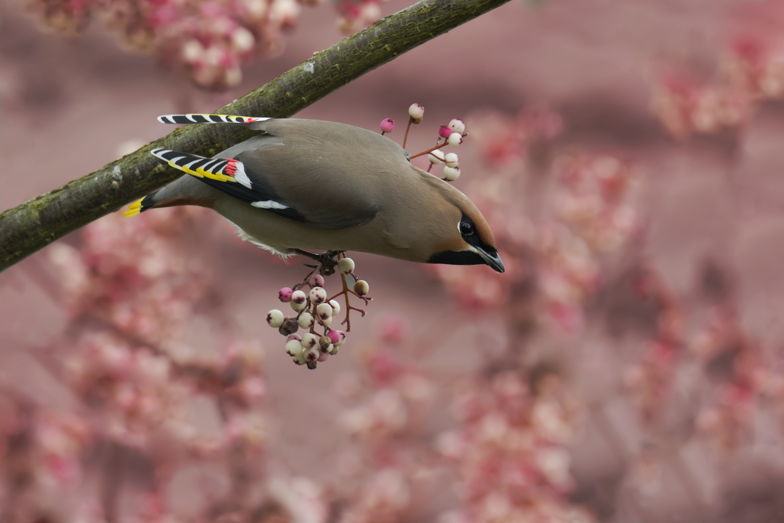 Waxwing Pink Berries 26th January.png