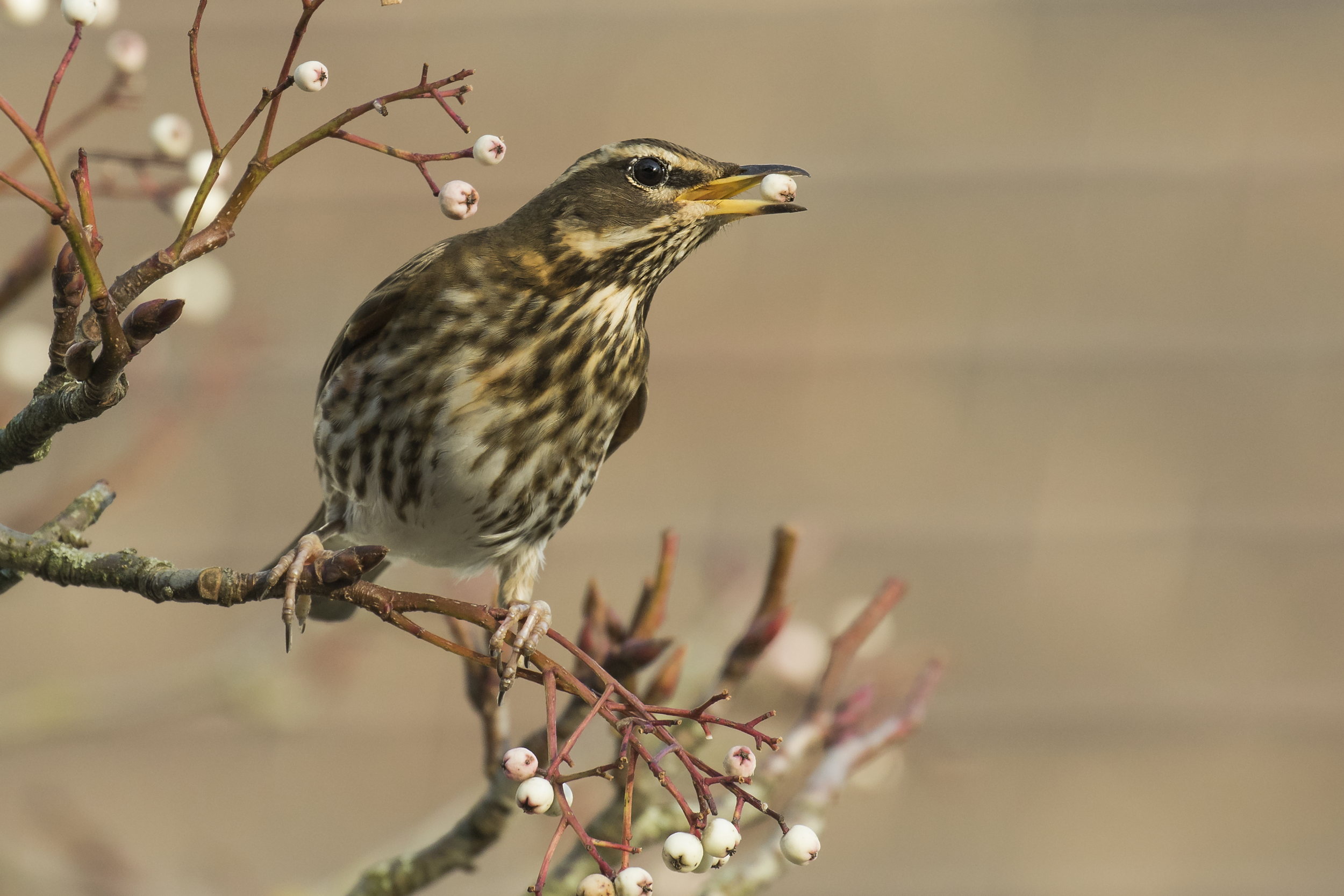 Redwing with Berry 25th January.png