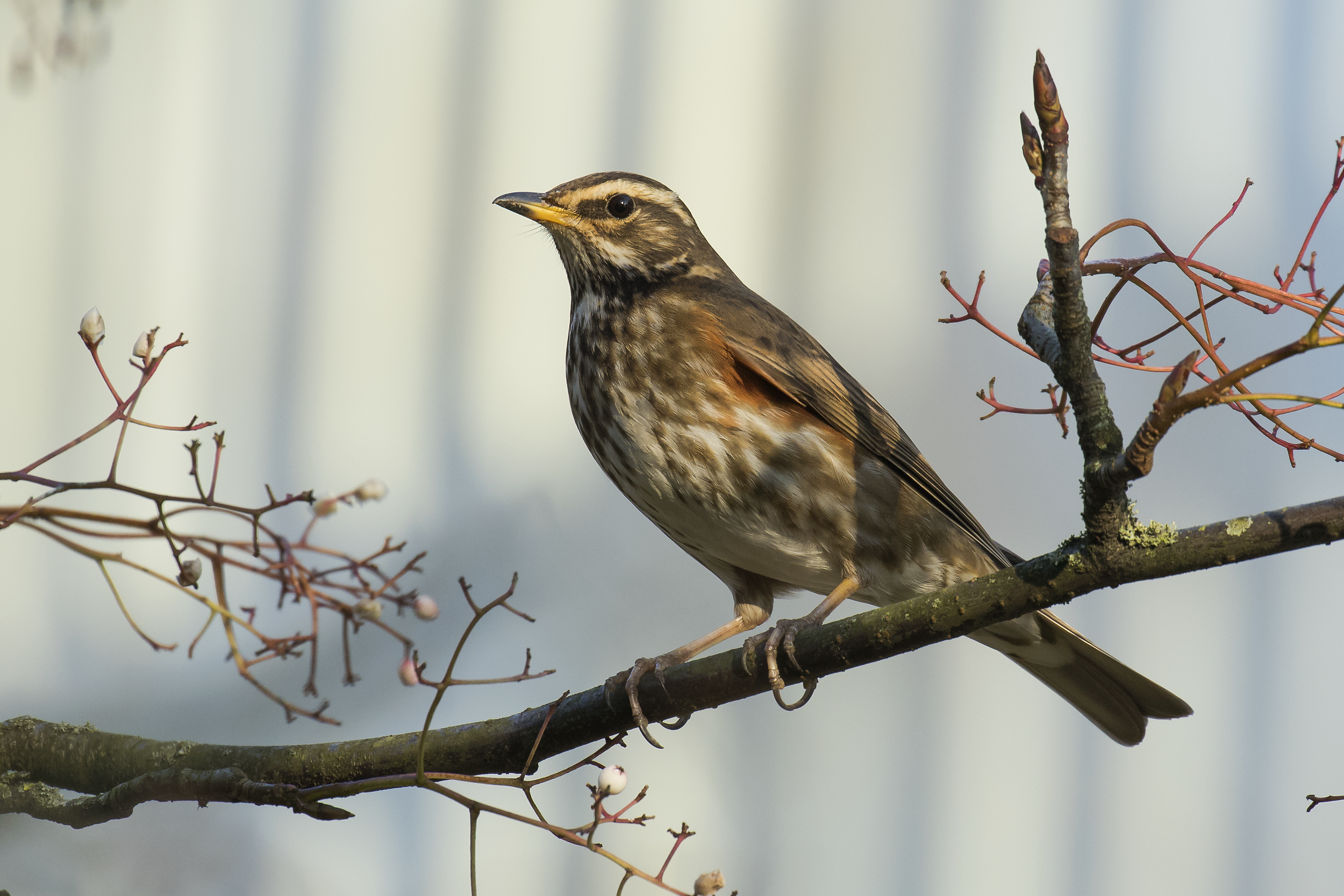 Redwing 25th January.png