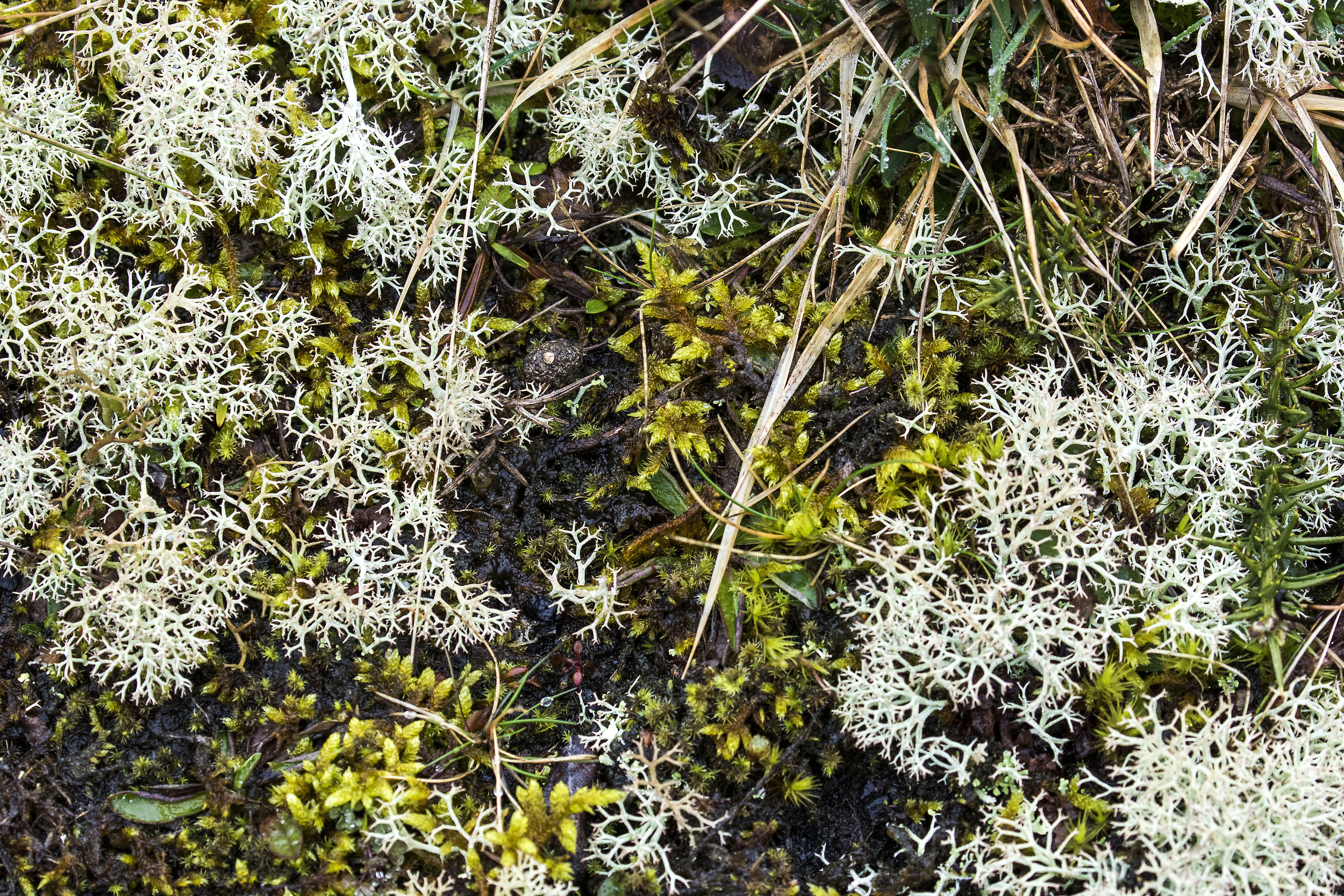 Reindeer Moss -  cladonia impexa  &Silky Wall Feather-moss - h omalothecium sericeum