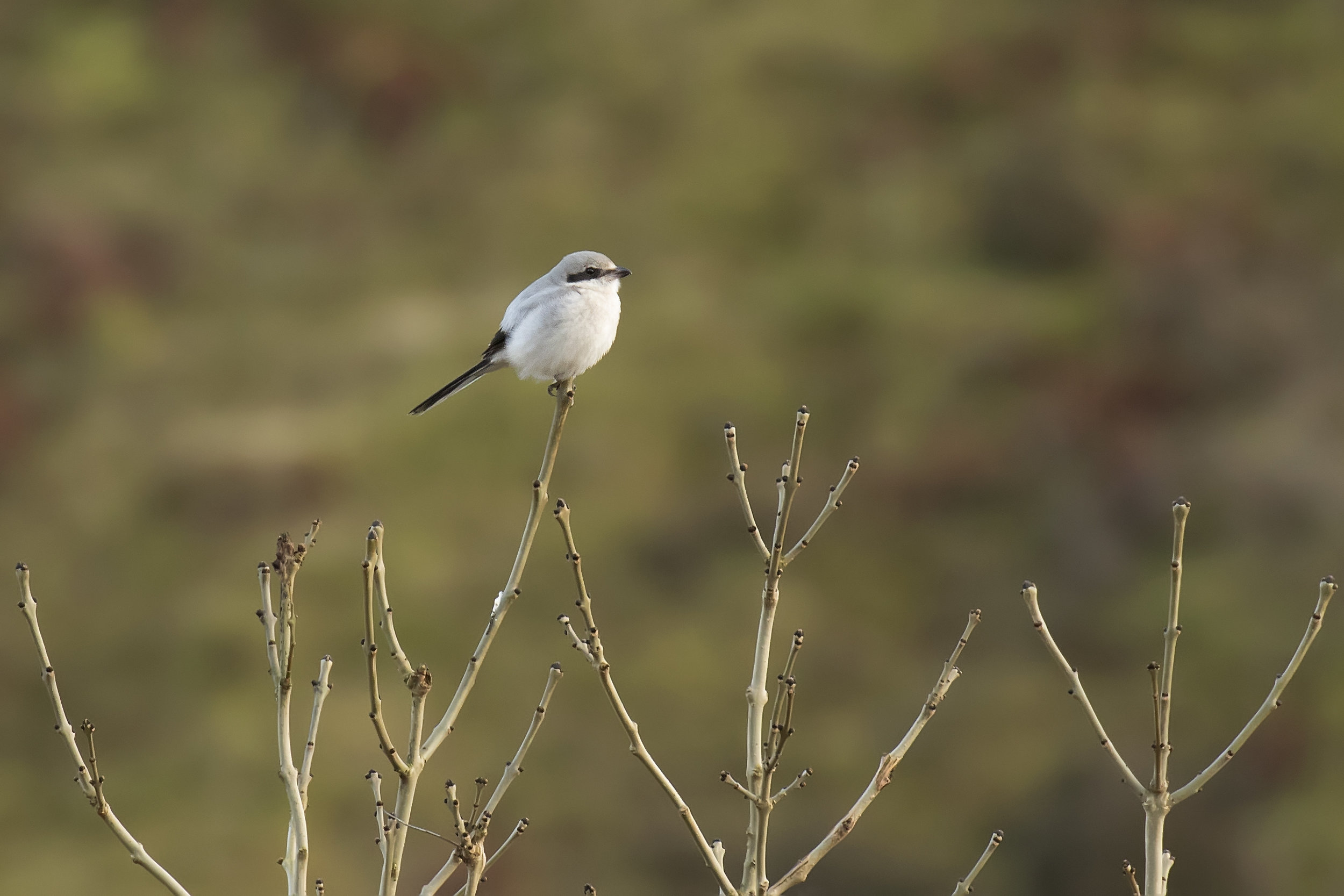 Great Grey Shrike.12th March.jpg