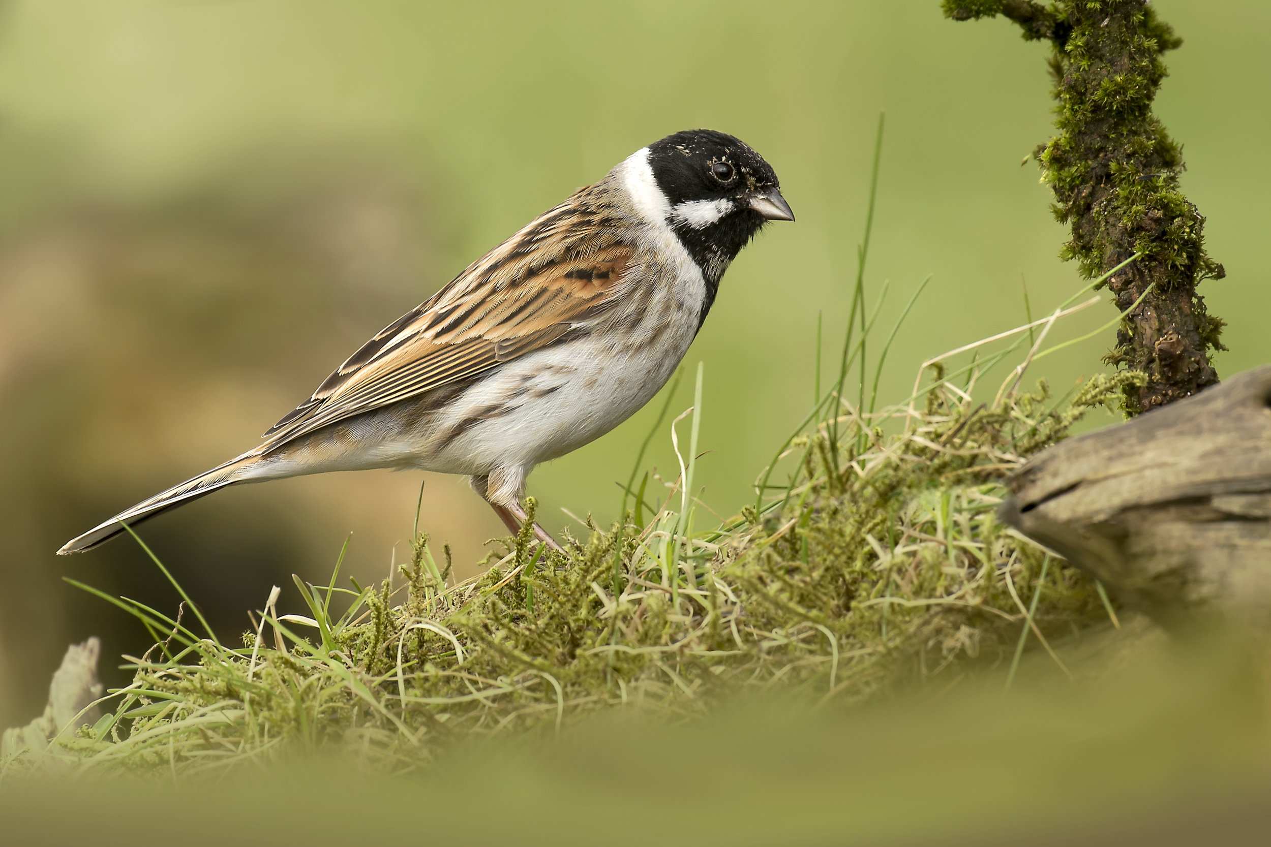 Reed Bunting 12th March.jpg