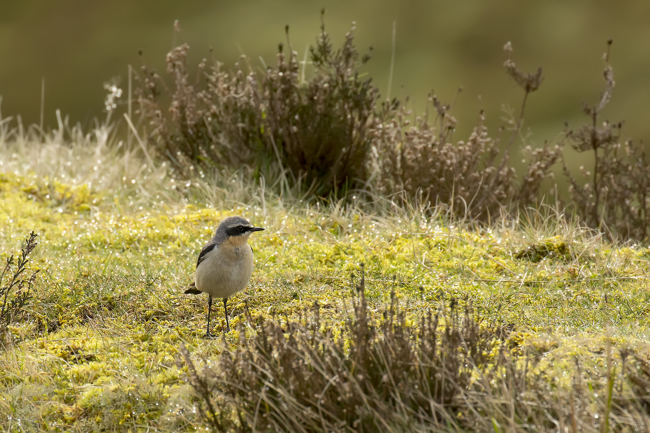Wheatear 12th March.jpg