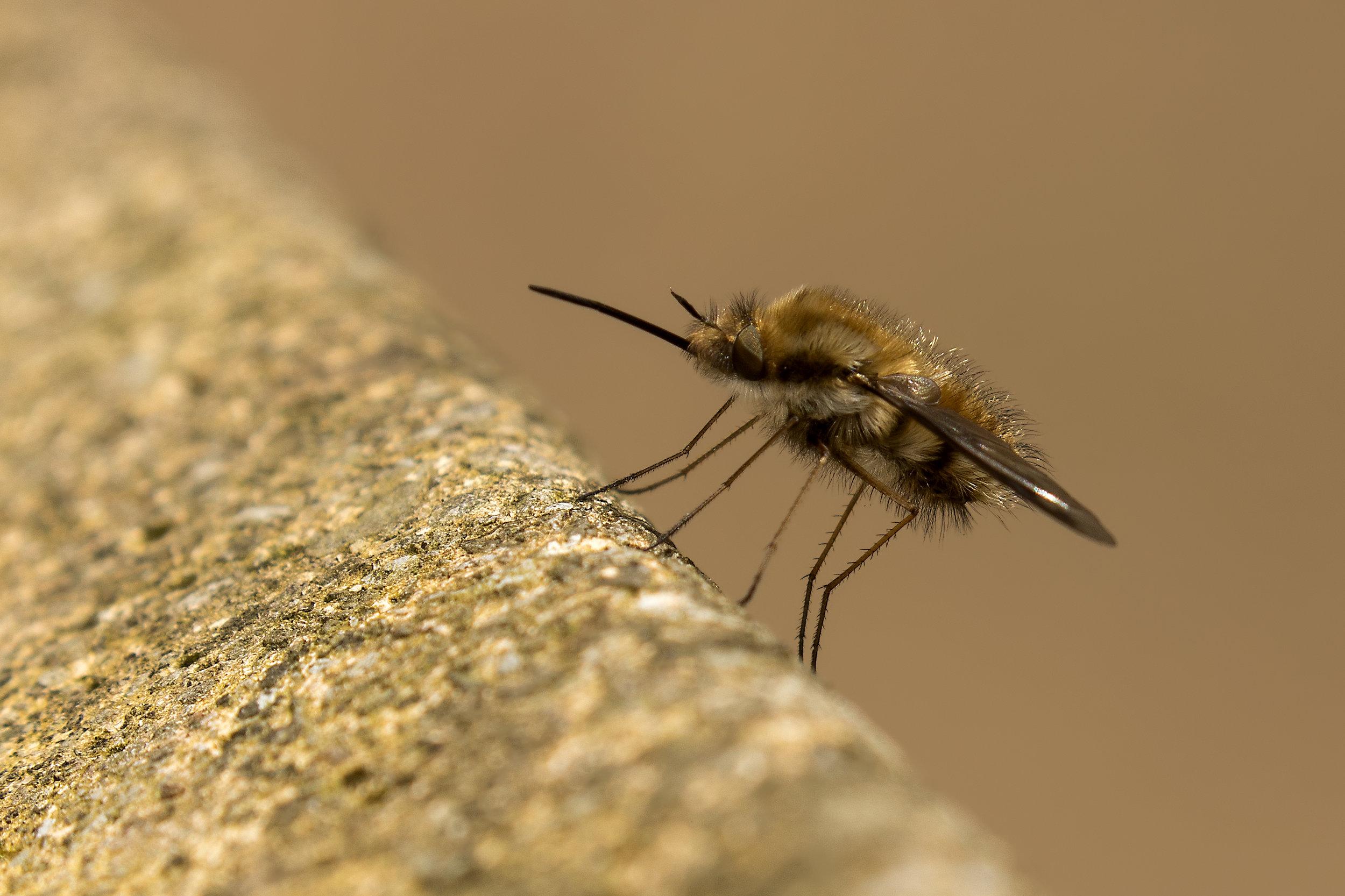 Dark-edged Bee Fly